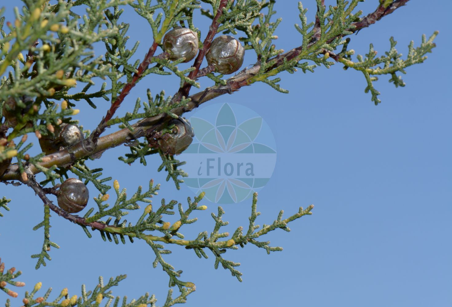Foto von Cupressus arizonica. Das Bild zeigt Zweig, Blatt, Bluete und Zapfen. Das Foto wurde in Goettingen, Niedersachsen, Deutschland aufgenommen. ---- Photo of Cupressus arizonica.The image is showing twig, leaf, flower and cone.The picture was taken in Goettingen, Lower Saxony, Germany.(Cupressus arizonica,Cupressus,Cupressaceae,Zypressengewaechse,Cypress family,Zweig,Blatt,Bluete,Zapfen,twig,leaf,flower,cone)