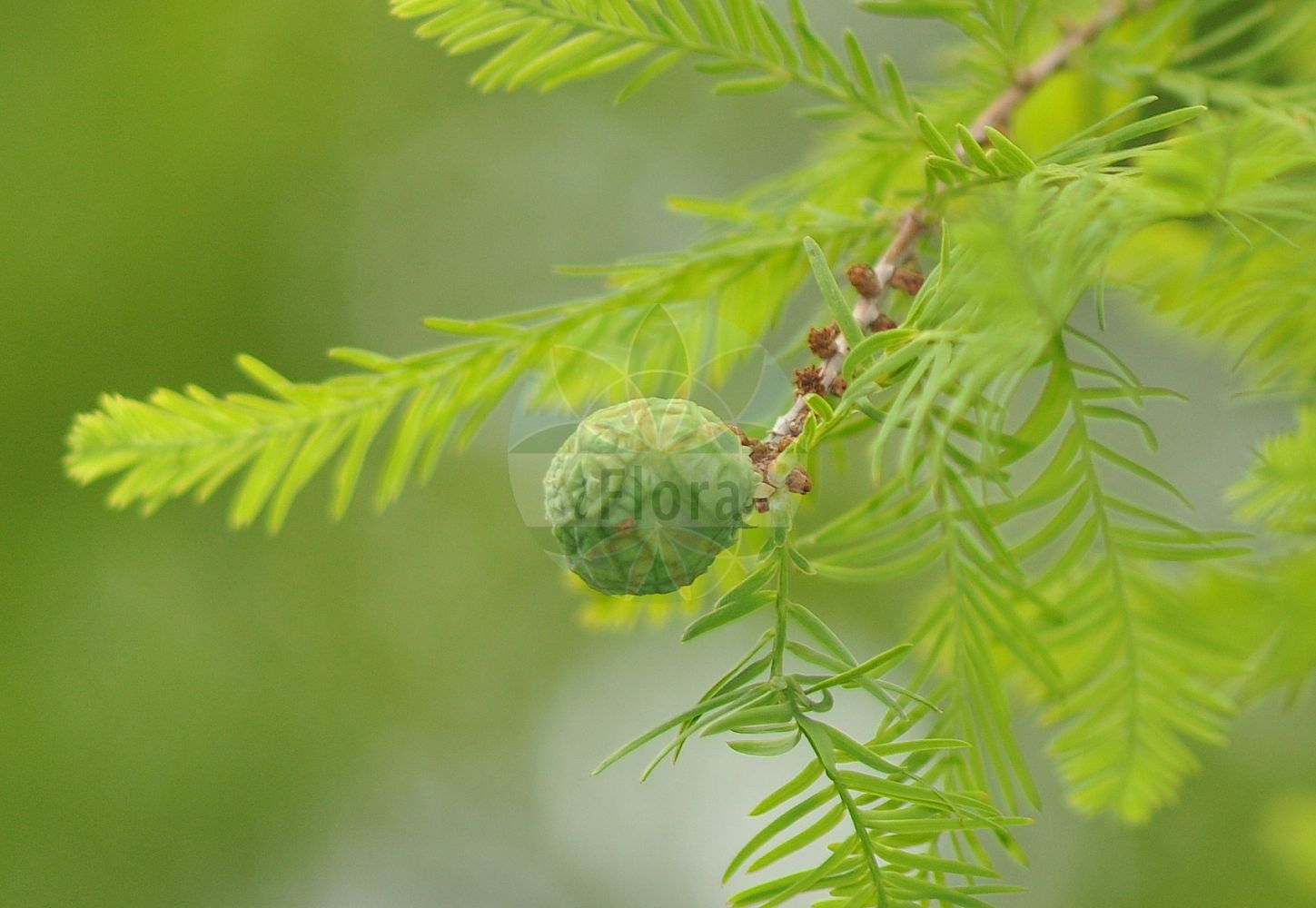 Foto von Metasequoia glyptostroboides (Urweltmammutbaum - Dawn Redwood). Das Bild zeigt Zweig, Blatt und Zapfen. ---- Photo of Metasequoia glyptostroboides (Urweltmammutbaum - Dawn Redwood).The image is showing twig, leaf and cone.(Metasequoia glyptostroboides,Urweltmammutbaum,Dawn Redwood,Metasequoia,Urweltmammutbaum,Dawn Redwood,Cupressaceae,Zypressengewaechse,Cypress family,Zweig,Blatt,Zapfen,twig,leaf,cone)