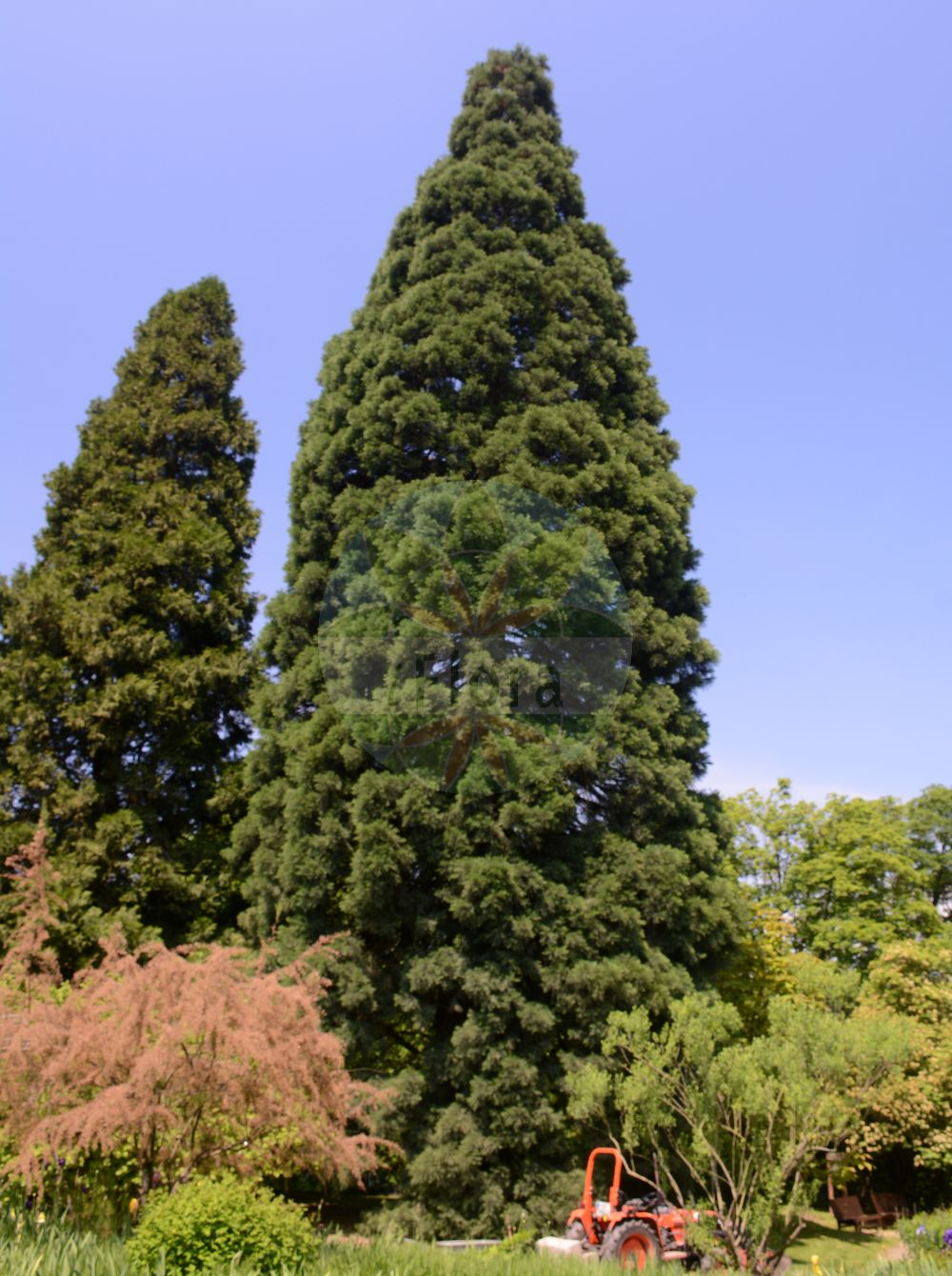Foto von Sequoiadendron giganteum (Riesenmammutbaum - Wellingtonia). Das Foto wurde in Linz, Oberoesterreich, Österreich aufgenommen. ---- Photo of Sequoiadendron giganteum (Riesenmammutbaum - Wellingtonia).The picture was taken in Linz, Upper Austria, Austria.(Sequoiadendron giganteum,Riesenmammutbaum,Wellingtonia,Wellingtonia gigantea,Big Tree,Giant Redwood,Giant Sequoia,Mammoth Tree,Sierra Redwood,Sequoiadendron,Riesenmammutbaum,Sequoia,Cupressaceae,Zypressengewaechse,Cypress family)