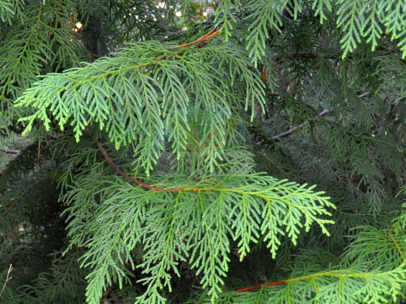 Foto von Xanthocyparis nootkatensis (Nootka-Scheinzypresse - Nootka Cypress). Das Foto wurde in Bayreuth, Bayern, Deutschland aufgenommen. ---- Photo of Xanthocyparis nootkatensis (Nootka-Scheinzypresse - Nootka Cypress).The picture was taken in Bayreuth, Bavaria, Germany.(Xanthocyparis nootkatensis,Nootka-Scheinzypresse,Nootka Cypress,Chamaecyparis nootkatensis,Cupressus nootkatensis,,Alaska Cypress,Alaska Yellow Cedar,Nootka False Cypress,Yellow Cypress,Xanthocyparis,Cupressaceae,Zypressengewaechse,Cypress family)