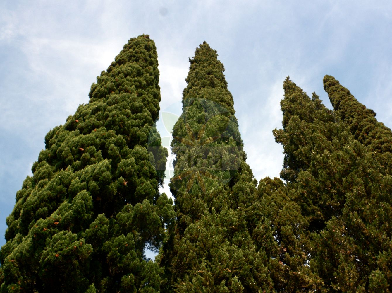 Foto von Cupressus sempervirens. Das Foto wurde in Hanbury, Ventimiglia, Liguria, Italien aufgenommen. ---- Photo of Cupressus sempervirens.The picture was taken in Hanbury, Ventimiglia, Liguria, Italy.(Cupressus sempervirens,Cupressus fastigiata,Cupressus horizontalis,Cupressus pyramidalis,var. pyramidalis,Cupressus,Cupressaceae,Zypressengewaechse,Cypress family)
