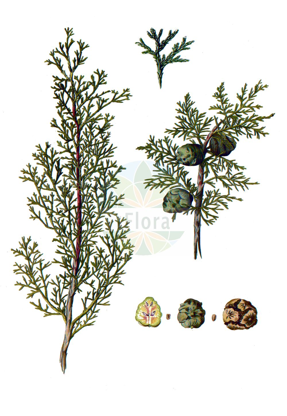 Historische Abbildung von Cupressus sempervirens. Das Bild zeigt Blatt, Bluete, Frucht und Same. ---- Historical Drawing of Cupressus sempervirens.The image is showing leaf, flower, fruit and seed.(Cupressus sempervirens,Cupressus fastigiata,Cupressus horizontalis,Cupressus pyramidalis,Cupressus sempervirens,Cupressus sempervirens var. pyramidalis,Cupressus,Cupressaceae,Zypressengewaechse,Cypress family,Blatt,Bluete,Frucht,Same,leaf,flower,fruit,seed,Pallas (1784))