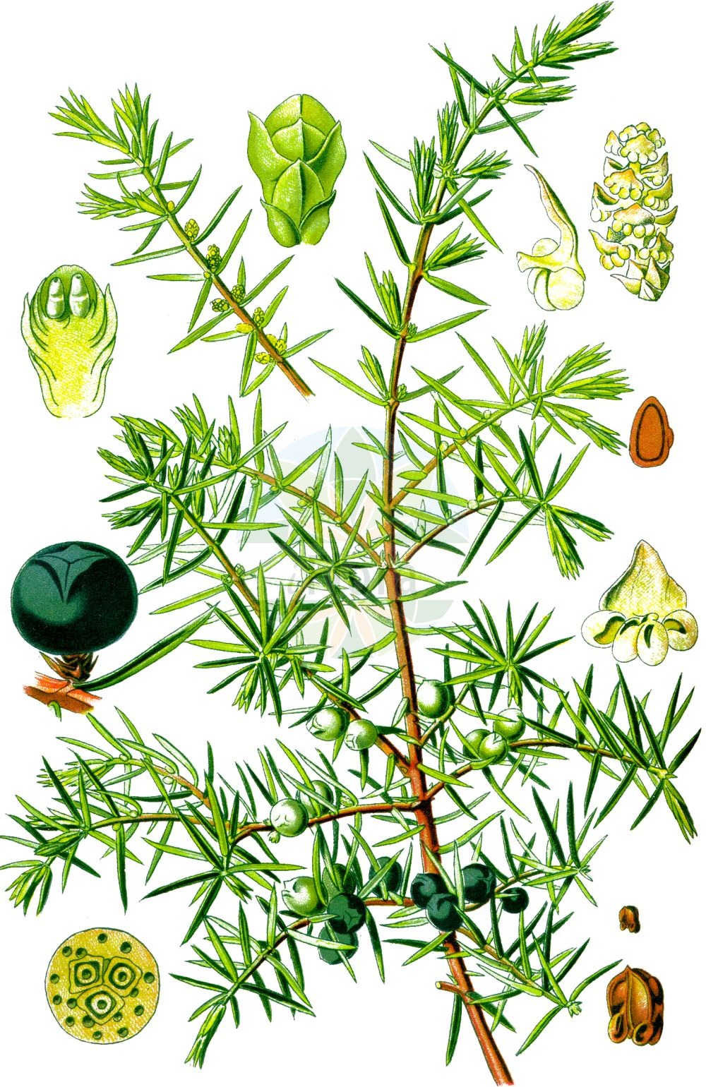 Historische Abbildung von Juniperus communis (Gewoehnlicher Wacholder - Common Juniper). Das Bild zeigt Blatt, Bluete, Frucht und Same. ---- Historical Drawing of Juniperus communis (Gewoehnlicher Wacholder - Common Juniper).The image is showing leaf, flower, fruit and seed.(Juniperus communis,Gewoehnlicher Wacholder,Common Juniper,Juniperus communis,Juniperus intermedia,Gewoehnlicher Wacholder,Gewoehnlicher Heide-Wacholder,Common Juniper,Juniper,Juniperus,Wacholder,Juniper,Cupressaceae,Zypressengewaechse,Cypress family,Blatt,Bluete,Frucht,Same,leaf,flower,fruit,seed,Thomé (1885))
