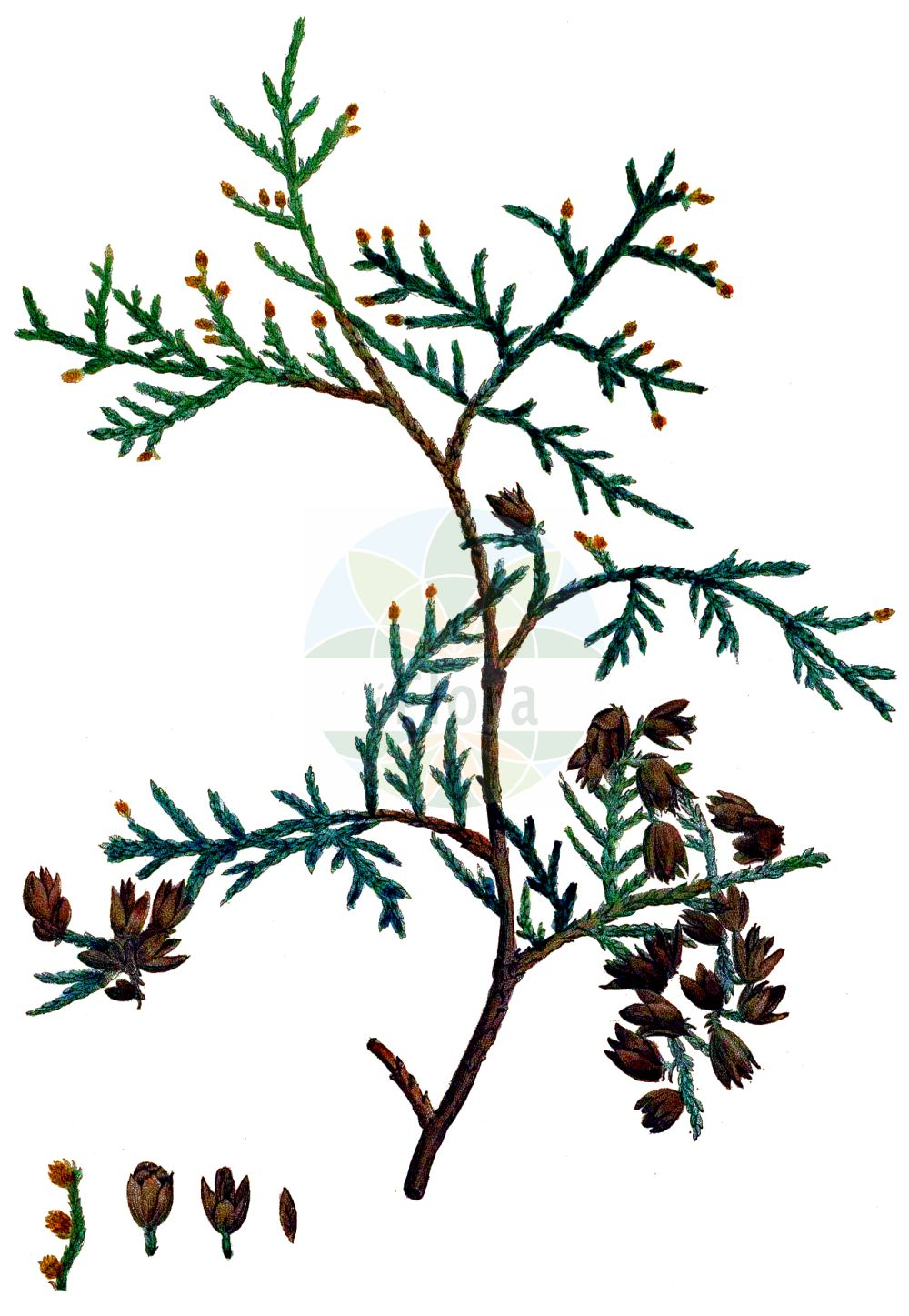 Historische Abbildung von Thuja occidentalis (Abendlaendischer Lebensbaum - Northern White-cedar). Das Bild zeigt Blatt, Bluete, Frucht und Same. ---- Historical Drawing of Thuja occidentalis (Abendlaendischer Lebensbaum - Northern White-cedar).The image is showing leaf, flower, fruit and seed.(Thuja occidentalis,Abendlaendischer Lebensbaum,Northern White-cedar,Thuja occidentalis,Abendlaendischer Lebensbaum,Northern White-cedar,American Arbor-vitae,Arborvitae,Thuja,Lebensbaum,Cedar,Cupressaceae,Zypressengewaechse,Cypress family,Blatt,Bluete,Frucht,Same,leaf,flower,fruit,seed,Duhamel du Monceau (1755-1768))