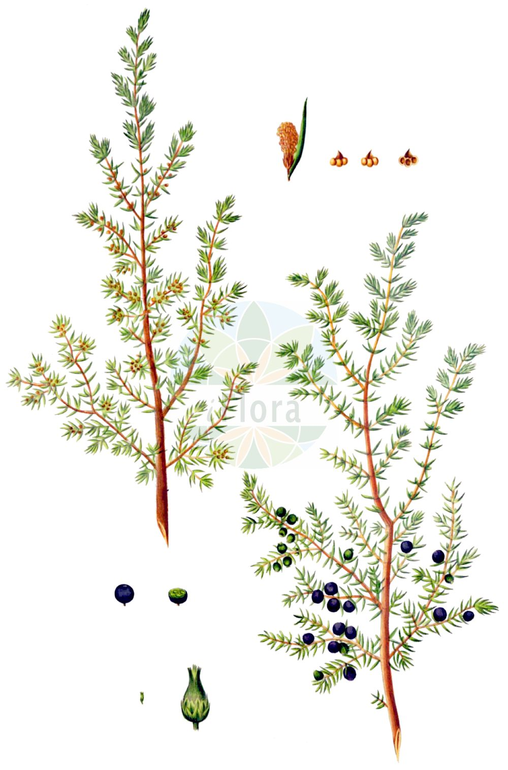 Historische Abbildung von Juniperus communis (Gewoehnlicher Wacholder - Common Juniper). Das Bild zeigt Blatt, Bluete, Frucht und Same. ---- Historical Drawing of Juniperus communis (Gewoehnlicher Wacholder - Common Juniper).The image is showing leaf, flower, fruit and seed.(Juniperus communis,Gewoehnlicher Wacholder,Common Juniper,Juniperus communis,Juniperus intermedia,Gewoehnlicher Wacholder,Gewoehnlicher Heide-Wacholder,Common Juniper,Juniper,Juniperus,Wacholder,Juniper,Cupressaceae,Zypressengewaechse,Cypress family,Blatt,Bluete,Frucht,Same,leaf,flower,fruit,seed,Oeder (1761-1883))