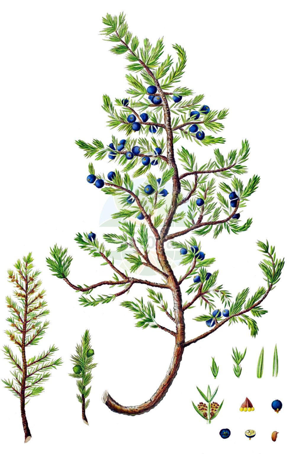 Historische Abbildung von Juniperus communis subsp. nana (Zwerg-Wacholder - Dwarf Juniper). Das Bild zeigt Blatt, Bluete, Frucht und Same. ---- Historical Drawing of Juniperus communis subsp. nana (Zwerg-Wacholder - Dwarf Juniper).The image is showing leaf, flower, fruit and seed.(Juniperus communis subsp. nana,Zwerg-Wacholder,Dwarf Juniper,Juniperus sibirica,Zwerg-Wacholder,Dwarf Juniper,Juniperus,Wacholder,Juniper,Cupressaceae,Zypressengewaechse,Cypress family,Blatt,Bluete,Frucht,Same,leaf,flower,fruit,seed,Oeder (1761-1883))