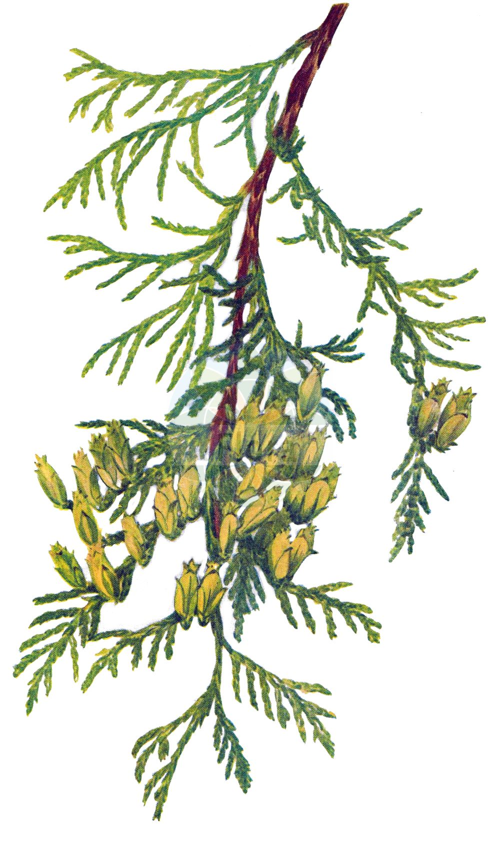 Historische Abbildung von Thuja plicata (Riesen-Lebensbaum - Western Red-cedar). Das Bild zeigt Blatt, Bluete, Frucht und Same. ---- Historical Drawing of Thuja plicata (Riesen-Lebensbaum - Western Red-cedar).The image is showing leaf, flower, fruit and seed.(Thuja plicata,Riesen-Lebensbaum,Western Red-cedar,Thuja plicata,Riesen-Lebensbaum,Western Red-cedar,British Columbian Red Cedar,Canoe Cedar,Giant Arbor Vitae,Shinglewood,Thuja,Lebensbaum,Cedar,Cupressaceae,Zypressengewaechse,Cypress family,Blatt,Bluete,Frucht,Same,leaf,flower,fruit,seed,Walcott (1860-1940))