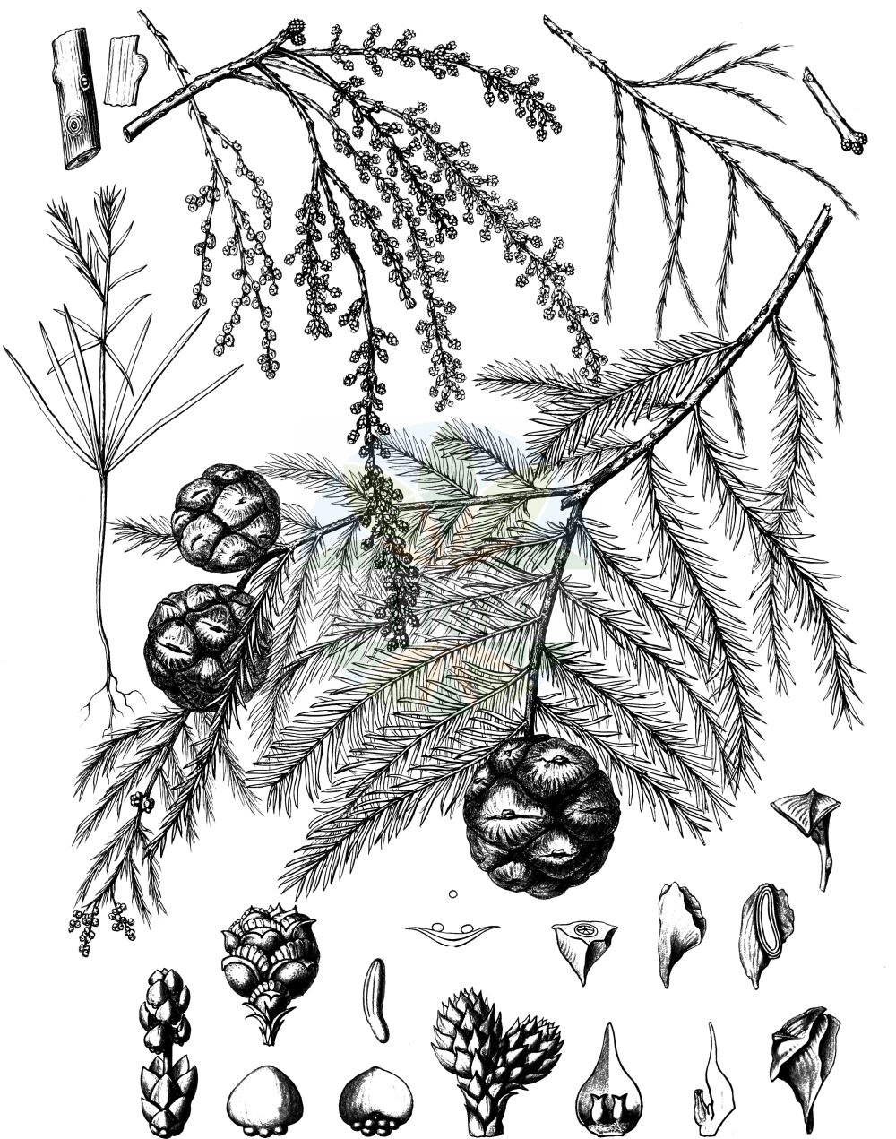 Historische Abbildung von Taxodium distichum (Echte Sumpfzypresse - Swamp Cypress). Das Bild zeigt Blatt, Bluete, Frucht und Same. ---- Historical Drawing of Taxodium distichum (Echte Sumpfzypresse - Swamp Cypress).The image is showing leaf, flower, fruit and seed.(Taxodium distichum,Echte Sumpfzypresse,Swamp Cypress,Cupressus disticha,Taxodium distichum,Echte Sumpfzypresse,Swamp Cypress,American Bald Cypress,Pond Cypress,Bald Cypress,Gulf Cypress,Red Cypress,Southern Cypress,Yellow Cypress,Taxodium,Sumpfzypresse,Bald Cypress,Cupressaceae,Zypressengewaechse,Cypress family,Blatt,Bluete,Frucht,Same,leaf,flower,fruit,seed,Sargent (1898-1902))
