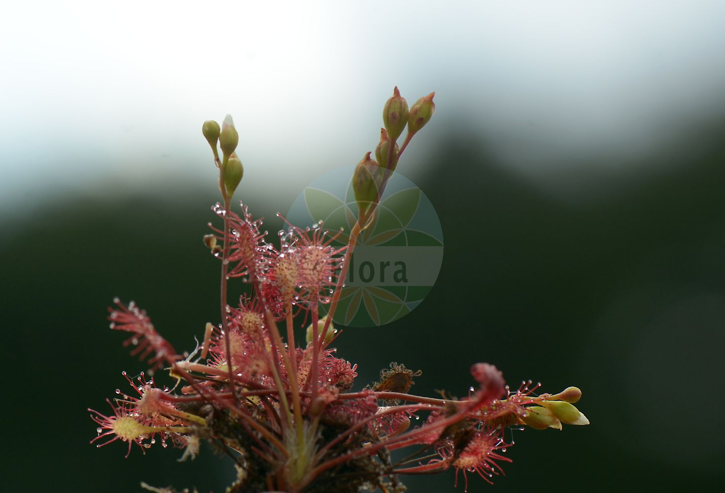 Foto von Drosera intermedia (Mittlerer Sonnentau - Oblong-leaved Sundew). Das Bild zeigt Blatt, Falle, Bluete und Frucht. Das Foto wurde in Sennelager, Paderborn, Nordrhein-Westfalen, Deutschland, Westfaelische Bucht aufgenommen. ---- Photo of Drosera intermedia (Mittlerer Sonnentau - Oblong-leaved Sundew).The image is showing leaf, trap, flower and fruit.The picture was taken in Sennelager, Paderborn, North Rhine-Westphalia, Germany, Westfaelische Bucht. (Drosera intermedia,Mittlerer Sonnentau,Oblong-leaved Sundew,Long-leaved Sundew,Spoonleaf Sundew,Great Sundew,Drosera,Sonnentau,Sundew,Droseraceae,Sonnentaugewaechse,Sundew family,Blatt,Falle,Bluete,Frucht,leaf,trap,flower,fruit)