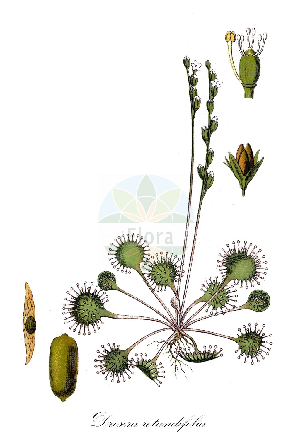 Historische Abbildung von Drosera rotundifolia (Rundblaettriger Sonnentau - Round-leaved Sundew). ---- Historical Drawing of Drosera rotundifolia (Rundblaettriger Sonnentau - Round-leaved Sundew). (Drosera rotundifolia,Rundblaettriger Sonnentau,Round-leaved Sundew,Drosera corsica,,Common Sundew,Roundleaf Sundew,Sundew,Drosera,Sonnentau,Sundew,Droseraceae,Sonnentaugewaechse,Sundew family,Sturm (1796f))