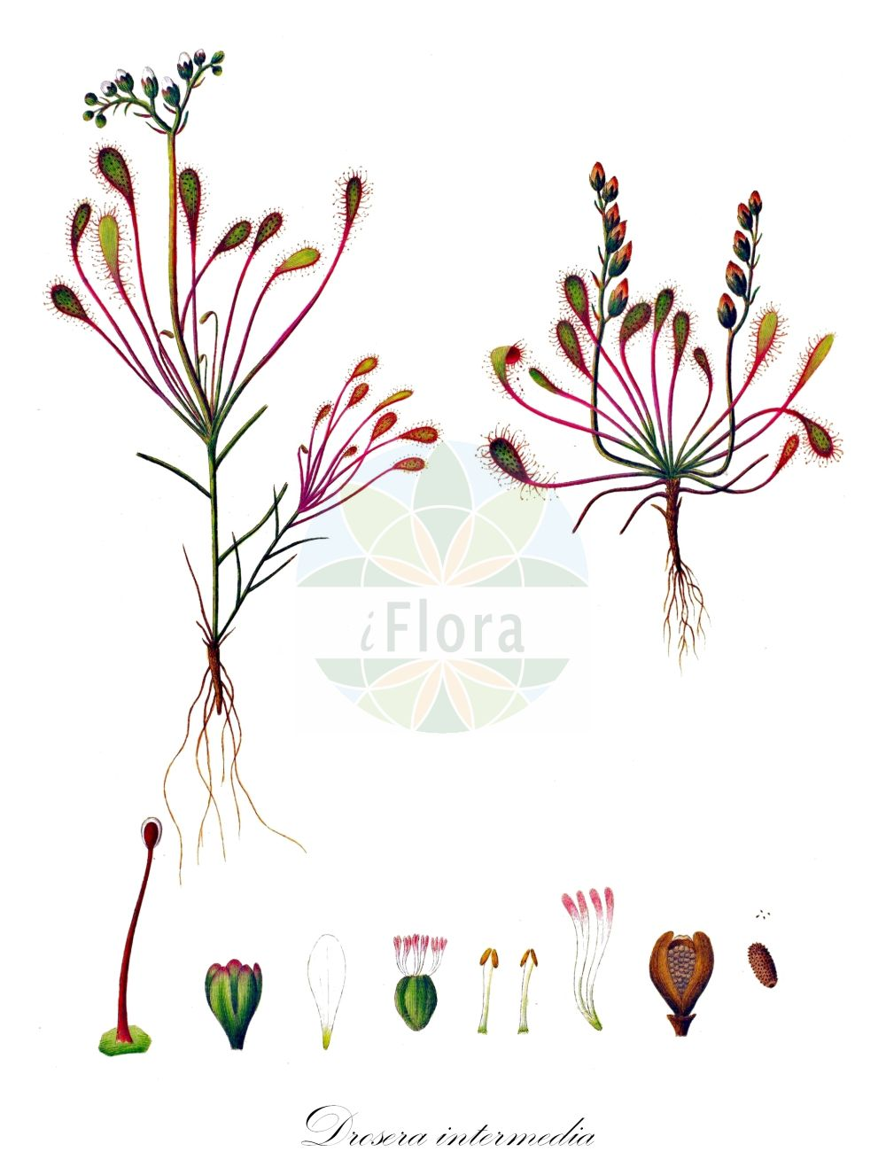 Historische Abbildung von Drosera intermedia (Mittlerer Sonnentau - Oblong-leaved Sundew). Das Bild zeigt Blatt, Bluete, Frucht und Same. ---- Historical Drawing of Drosera intermedia (Mittlerer Sonnentau - Oblong-leaved Sundew).The image is showing leaf, flower, fruit and seed. (Drosera intermedia,Mittlerer Sonnentau,Oblong-leaved Sundew,Long-leaved Sundew,Spoonleaf Sundew,Great Sundew,Drosera,Sonnentau,Sundew,Droseraceae,Sonnentaugewaechse,Sundew family,Blatt,Bluete,Frucht,Same,leaf,flower,fruit,seed,Oeder (1761-1883))