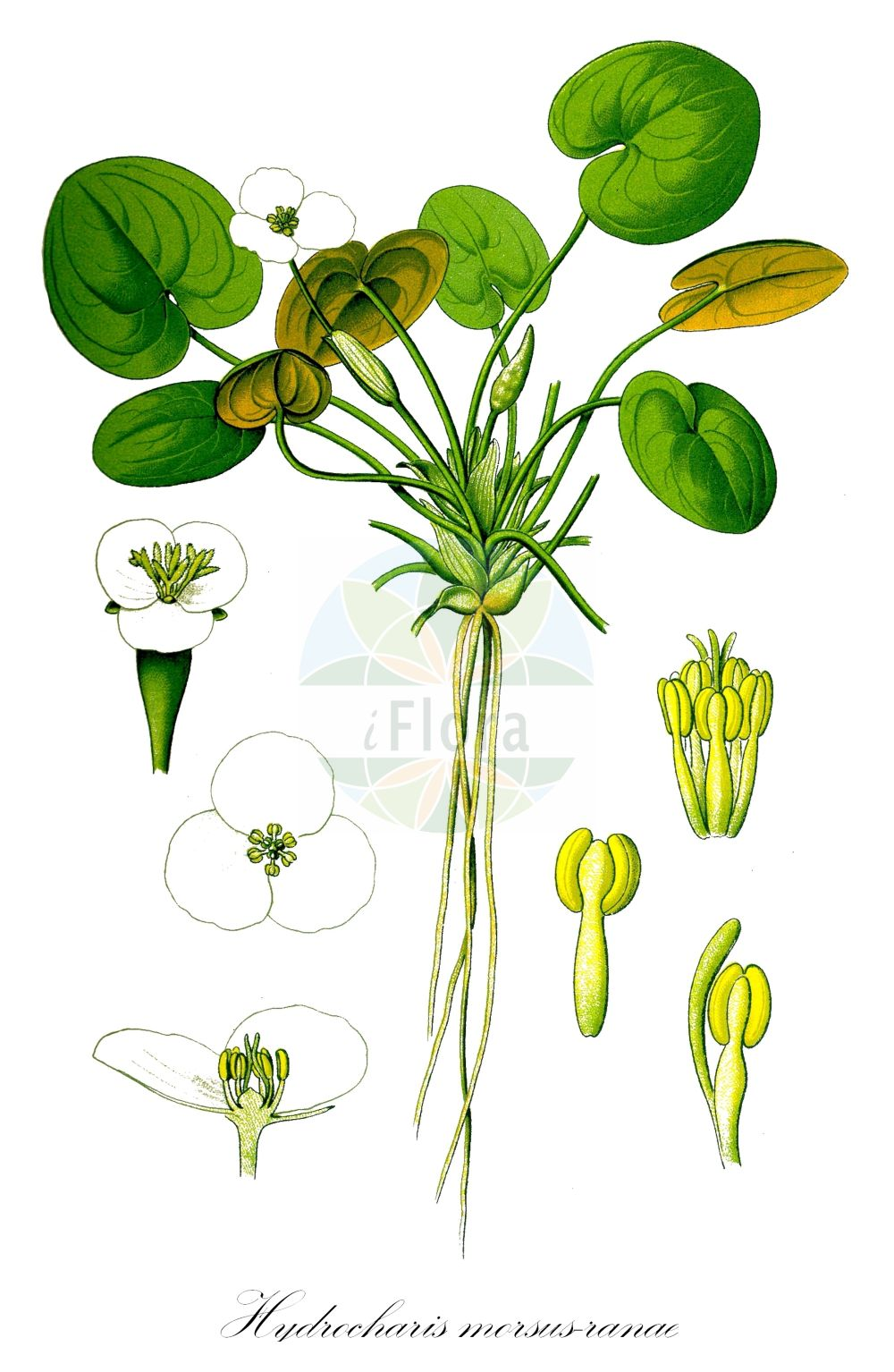 Historische Abbildung von Hydrocharis morsus-ranae (Europaeischer Froschbiss - Frogbit). Das Bild zeigt Blatt, Bluete, Frucht und Same. ---- Historical Drawing of Hydrocharis morsus-ranae (Europaeischer Froschbiss - Frogbit).The image is showing leaf, flower, fruit and seed.(Hydrocharis morsus-ranae,Europaeischer Froschbiss,Frogbit,Froschbiss,European Common ,Hydrocharis,Froschbiss,Frogbit,Hydrocharitaceae,Froschbissgewaechse,Frogbit family,Blatt,Bluete,Frucht,Same,leaf,flower,fruit,seed,Thomé (1885))