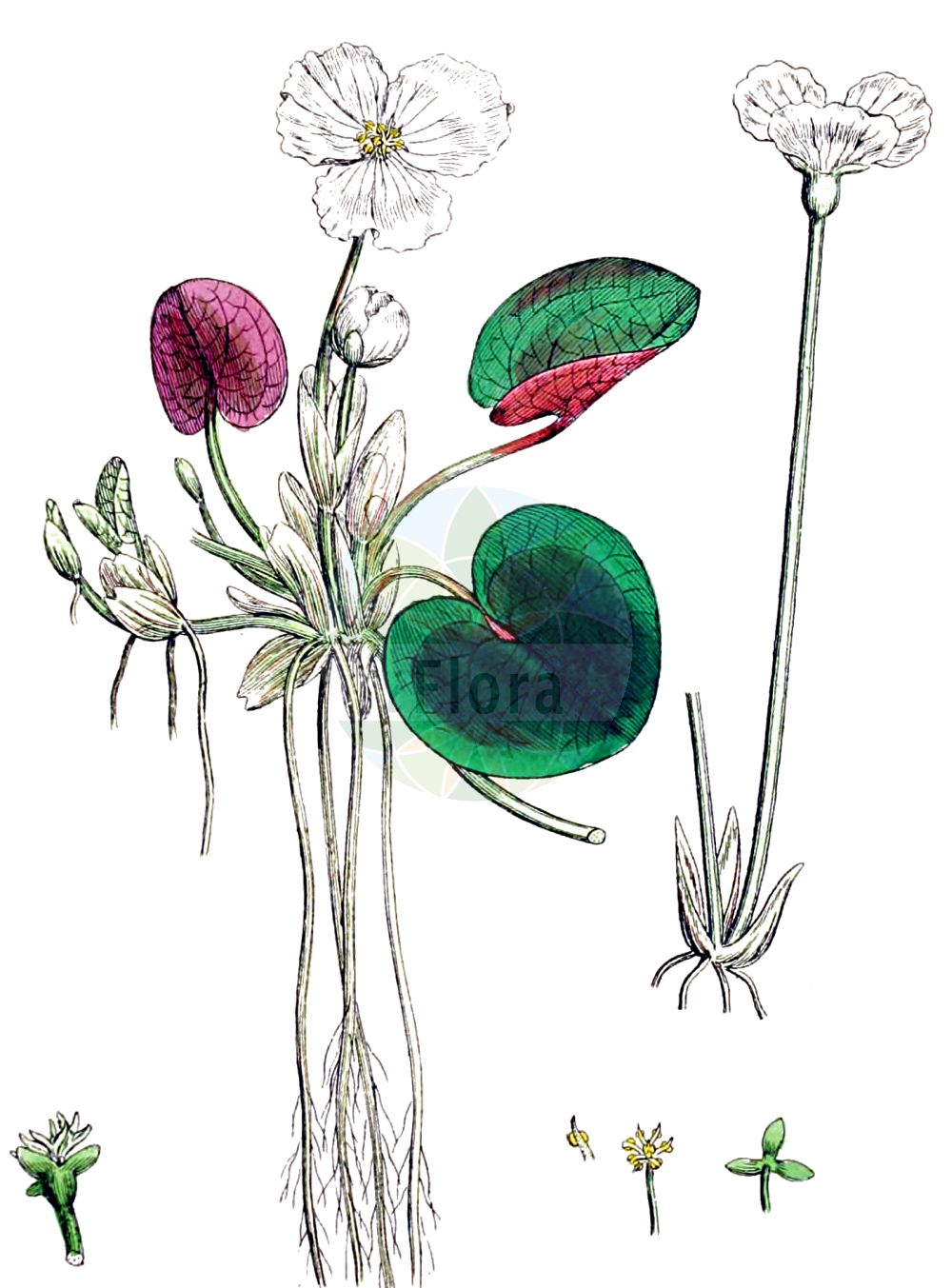 Historische Abbildung von Hydrocharis morsus-ranae (Europaeischer Froschbiss - Frogbit). Das Bild zeigt Blatt, Bluete, Frucht und Same. ---- Historical Drawing of Hydrocharis morsus-ranae (Europaeischer Froschbiss - Frogbit).The image is showing leaf, flower, fruit and seed.(Hydrocharis morsus-ranae,Europaeischer Froschbiss,Frogbit,Hydrocharis morsus-ranae,Europaeischer Froschbiss,Froschbiss,Frogbit,European Frogbit,Common Frogbit,Hydrocharis,Froschbiss,Frogbit,Hydrocharitaceae,Froschbissgewaechse,Frogbit family,Blatt,Bluete,Frucht,Same,leaf,flower,fruit,seed,Sowerby (1790-1813))