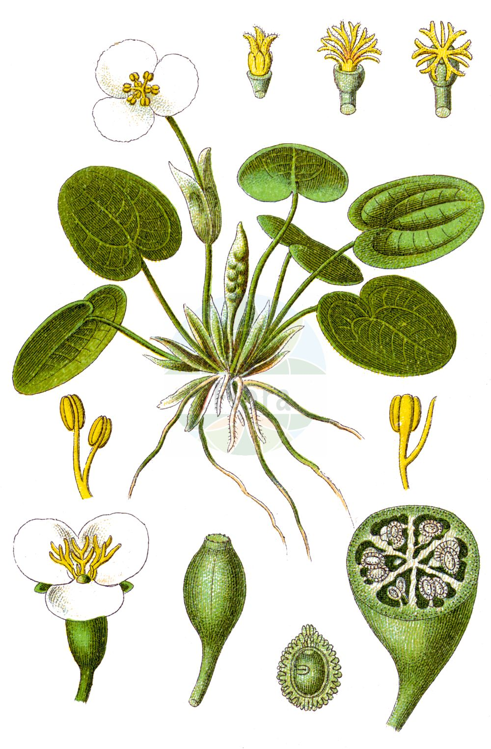 Historische Abbildung von Hydrocharis morsus-ranae (Europaeischer Froschbiss - Frogbit). Das Bild zeigt Blatt, Bluete, Frucht und Same. ---- Historical Drawing of Hydrocharis morsus-ranae (Europaeischer Froschbiss - Frogbit).The image is showing leaf, flower, fruit and seed.(Hydrocharis morsus-ranae,Europaeischer Froschbiss,Frogbit,Hydrocharis morsus-ranae,Europaeischer Froschbiss,Froschbiss,Frogbit,European Frogbit,Common Frogbit,Hydrocharis,Froschbiss,Frogbit,Hydrocharitaceae,Froschbissgewaechse,Frogbit family,Blatt,Bluete,Frucht,Same,leaf,flower,fruit,seed,Sturm (1796f))