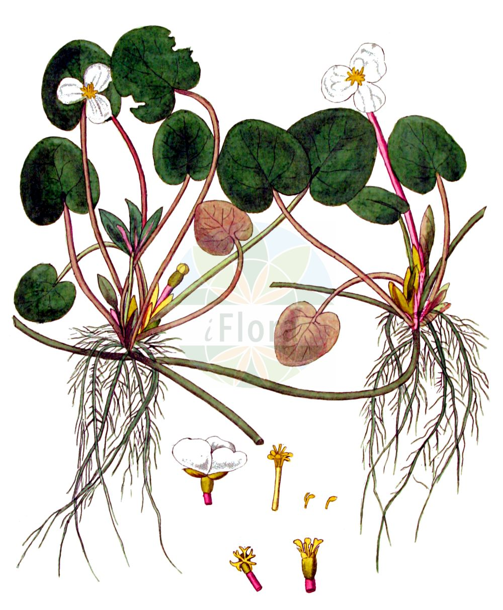 Historische Abbildung von Hydrocharis morsus-ranae (Europaeischer Froschbiss - Frogbit). Das Bild zeigt Blatt, Bluete, Frucht und Same. ---- Historical Drawing of Hydrocharis morsus-ranae (Europaeischer Froschbiss - Frogbit).The image is showing leaf, flower, fruit and seed.(Hydrocharis morsus-ranae,Europaeischer Froschbiss,Frogbit,Hydrocharis morsus-ranae,Europaeischer Froschbiss,Froschbiss,Frogbit,European Frogbit,Common Frogbit,Hydrocharis,Froschbiss,Frogbit,Hydrocharitaceae,Froschbissgewaechse,Frogbit family,Blatt,Bluete,Frucht,Same,leaf,flower,fruit,seed,Kops (1800-1934))
