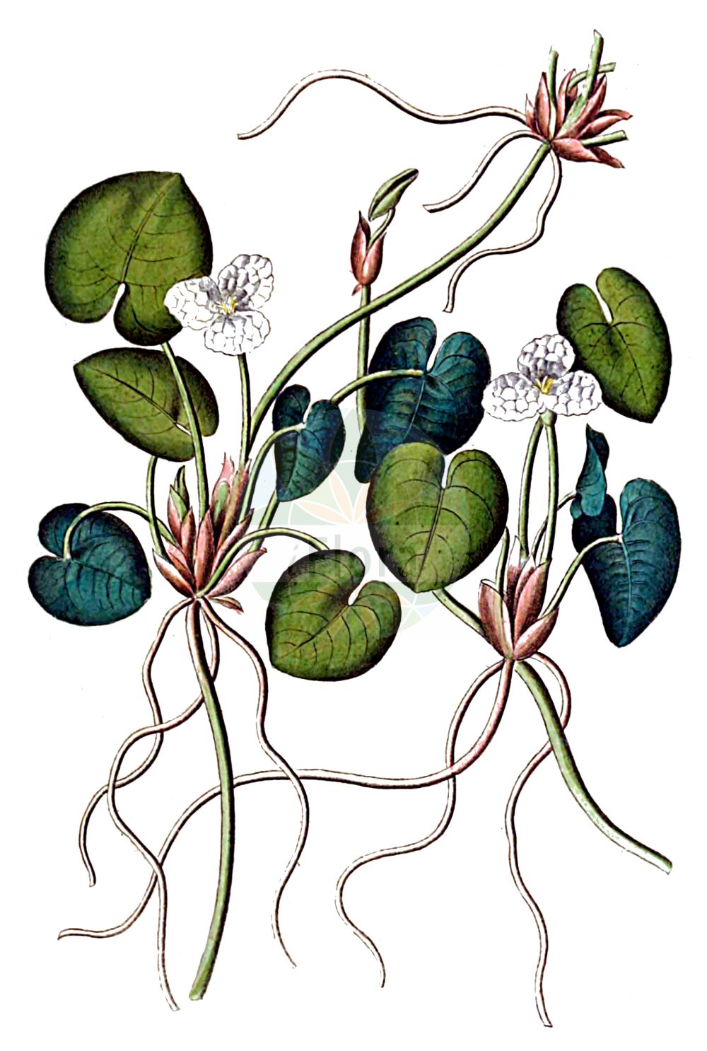 Historische Abbildung von Hydrocharis morsus-ranae (Europaeischer Froschbiss - Frogbit). Das Bild zeigt Blatt, Bluete, Frucht und Same. ---- Historical Drawing of Hydrocharis morsus-ranae (Europaeischer Froschbiss - Frogbit).The image is showing leaf, flower, fruit and seed.(Hydrocharis morsus-ranae,Europaeischer Froschbiss,Frogbit,Hydrocharis morsus-ranae,Europaeischer Froschbiss,Froschbiss,Frogbit,European Frogbit,Common Frogbit,Hydrocharis,Froschbiss,Frogbit,Hydrocharitaceae,Froschbissgewaechse,Frogbit family,Blatt,Bluete,Frucht,Same,leaf,flower,fruit,seed,Dietrich (1833-1844))