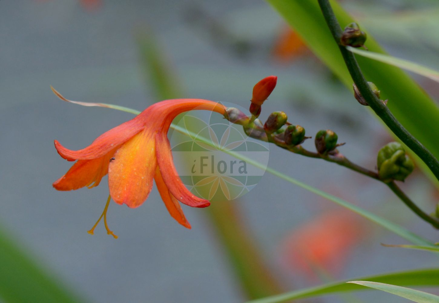 Foto von Crocosmia x crocosmiiflora. Das Bild zeigt Blatt und Bluete. Das Foto wurde in Lyon, Auvergne-Rhône-Alpes, Frankreich aufgenommen. ---- Photo of Crocosmia x crocosmiiflora.The image is showing leaf and flower.The picture was taken in Lyon, Auvergne-Rhône-Alpes, France. (Crocosmia x crocosmiiflora,Crocosmia,Iridaceae,Schwertliliengewaechse,Iris family,Blatt,Bluete,leaf,flower)