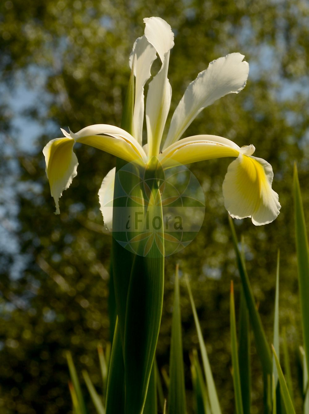 Foto von Iris orientalis. Das Bild zeigt Bluete. Das Foto wurde in Besancon, Bourgogne-Franche-Comté (Praefektur), Frankreich aufgenommen. ---- Photo of Iris orientalis.The image is showing flower.The picture was taken in Besançon, Bourgogne-Franche-Comté. (Iris orientalis,Iris albida,Iris gigantea,Iris longipedicellata,Iris monnieri,Iris ochroleuca,Xiphion monnieri,Xyridion monnieri,Xyridion ochroleucum,Xyridion orientalis,Iris,Schwertlilie,Iris,Iridaceae,Schwertliliengewaechse,Iris family,Bluete,flower)