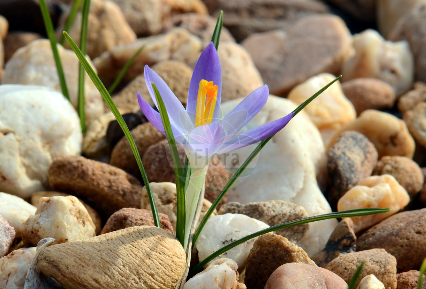 Foto von Crocus minimus. Das Bild zeigt Blatt und Bluete. Das Foto wurde in Mainz, Rheinland-Pfalz, Deutschland aufgenommen. ---- Photo of Crocus minimus.The image is showing leaf and flower.The picture was taken in Mainz, Rhineland-Palatinate, Germany. (Crocus minimus,Bulbocodium elongatum,Crocus insularis,Crocus nanus,Ixia elongata,Romulea elongata,Trichonema elongatum,Crocus,Krokus,Crocus,Iridaceae,Schwertliliengewaechse,Iris family,Blatt,Bluete,leaf,flower)