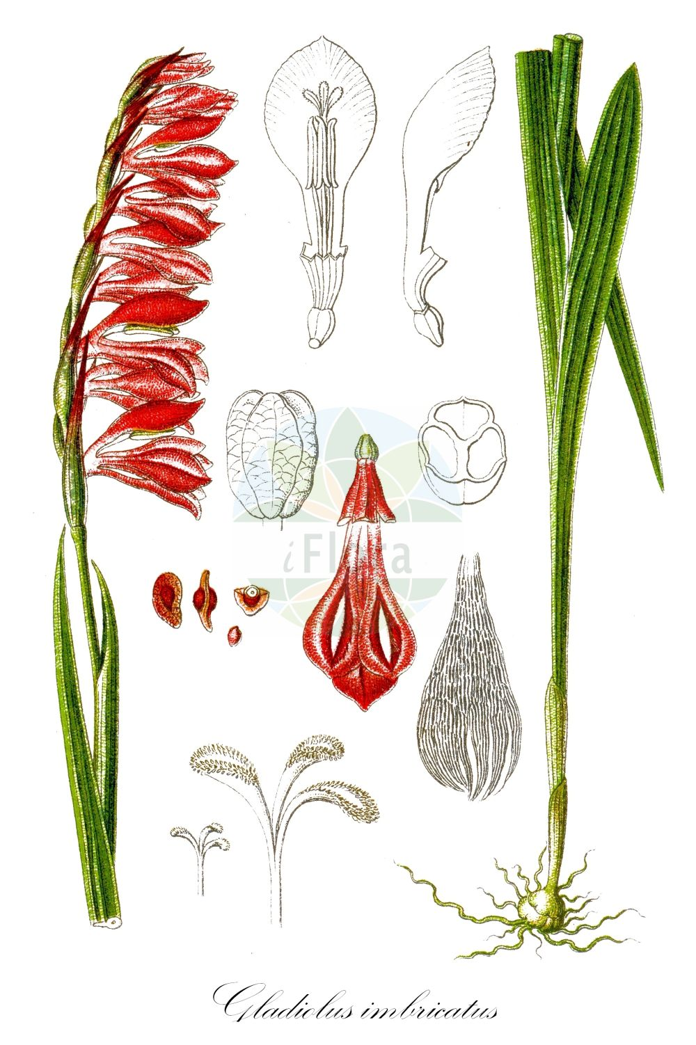 Historische Abbildung von Gladiolus imbricatus (Dachziegelige Siegwurz - Meadow Gladiolus). Das Bild zeigt Blatt, Bluete, Frucht und Same. ---- Historical Drawing of Gladiolus imbricatus (Dachziegelige Siegwurz - Meadow Gladiolus).The image is showing leaf, flower, fruit and seed. (Gladiolus imbricatus,Dachziegelige Siegwurz,Meadow Gladiolus,Gladiolus apterus,Gladiolus crispiflorus,Gladiolus galiciensis,Gladiolus hygrophilus,Gladiolus libanoticus,Gladiolus marschallii,Gladiolus neglectus,Gladiolus raddeanus,Gladiolus rossicus,Sphaerospora imbricata,Wiesen-Gladiole,Gladiolus,Siegwurz,Gladiolus,Iridaceae,Schwertliliengewaechse,Iris family,Blatt,Bluete,Frucht,Same,leaf,flower,fruit,seed,Sturm (1796f))