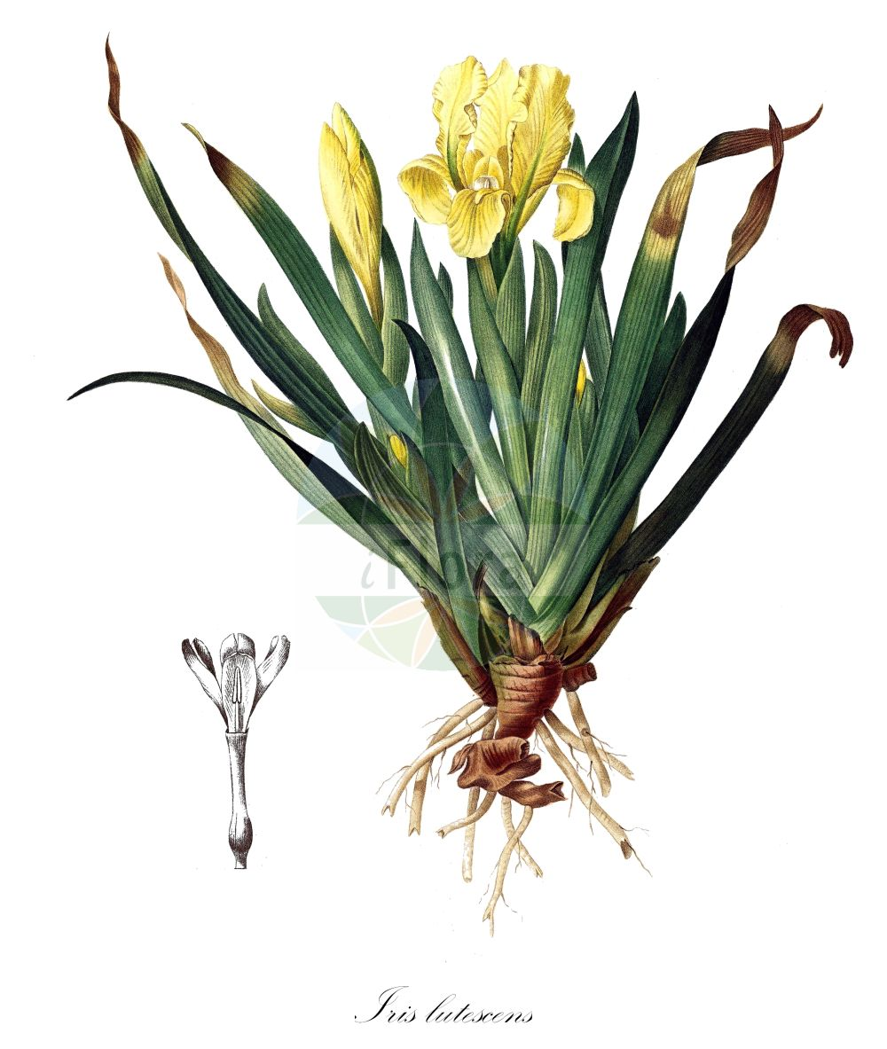 Historische Abbildung von Iris lutescens. Das Bild zeigt Blatt, Bluete, Frucht und Same. ---- Historical Drawing of Iris lutescens.The image is showing leaf, flower, fruit and seed. (Iris lutescens,Iris,Schwertlilie,Iris,Iridaceae,Schwertliliengewaechse,Iris family,Blatt,Bluete,Frucht,Same,leaf,flower,fruit,seed,Redouté (1759-1840))