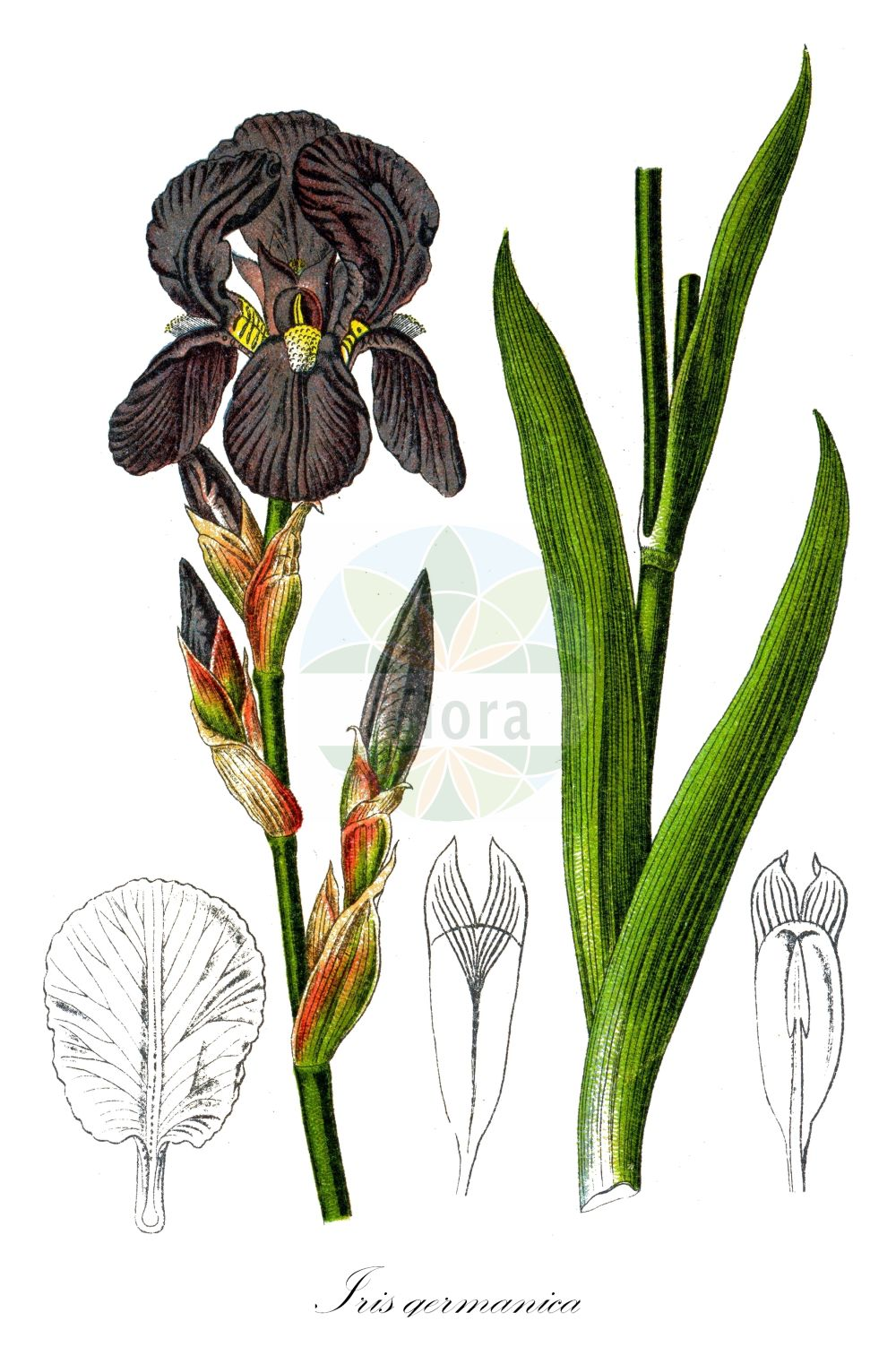 Historische Abbildung von Iris germanica (Deutsche Schwertlilie - Bearded Iris). Das Bild zeigt Blatt, Bluete, Frucht und Same. ---- Historical Drawing of Iris germanica (Deutsche Schwertlilie - Bearded Iris).The image is showing leaf, flower, fruit and seed. (Iris germanica,Deutsche Schwertlilie,Bearded Iris,Common Iris,German Iris,Iris,Schwertlilie,Iris,Iridaceae,Schwertliliengewaechse,Iris family,Blatt,Bluete,Frucht,Same,leaf,flower,fruit,seed,Kohl (1891-1895))