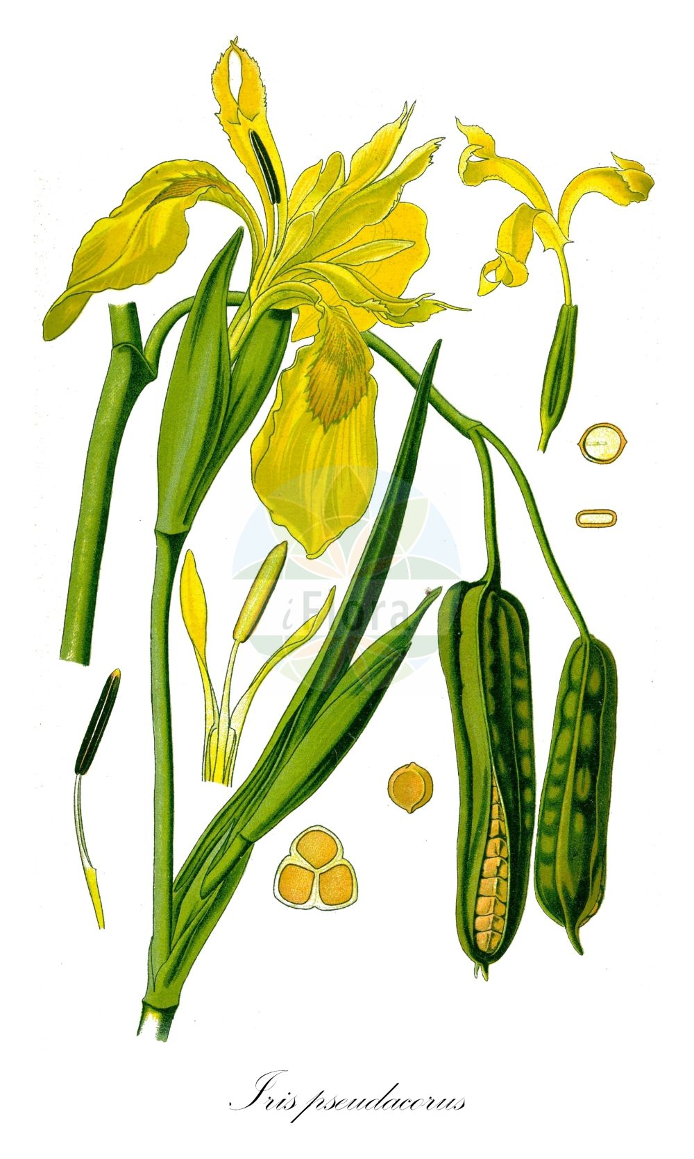 Historische Abbildung von Iris pseudacorus (Sumpf-Schwertlilie - Yellow Iris). ---- Historical Drawing of Iris pseudacorus (Sumpf-Schwertlilie - Yellow Iris). (Iris pseudacorus,Sumpf-Schwertlilie,Yellow Iris,Acorus adulterinus,Colchicum falcifolium,Iris acoriformis,Iris acoroides,Iris bastardii,Iris curtopetala,Iris flava,Iris lutea,Iris pallidior,Iris paludosa,Iris palustris,Iris sativa,Limnirion pseudacorus,Limniris pseudacorus,Moraea candolleana,Pseudo-iris palustris,Vieusseuxia iridioides,Xiphion acoroides,Xiphion pseudacorus,Xyridion acoroideum,Xyridion pseudacorus,Gelbe Schwertlilie,Wasser-Schwertlilie,Jacob's Wort,Paleyellow Iris,Rocky Mountain Iris,Water Flag,Yellow Flag,Yellow-flag Iris,Iris,Schwertlilie,Iris,Iridaceae,Schwertliliengewaechse,Iris family,Thomé (1885))