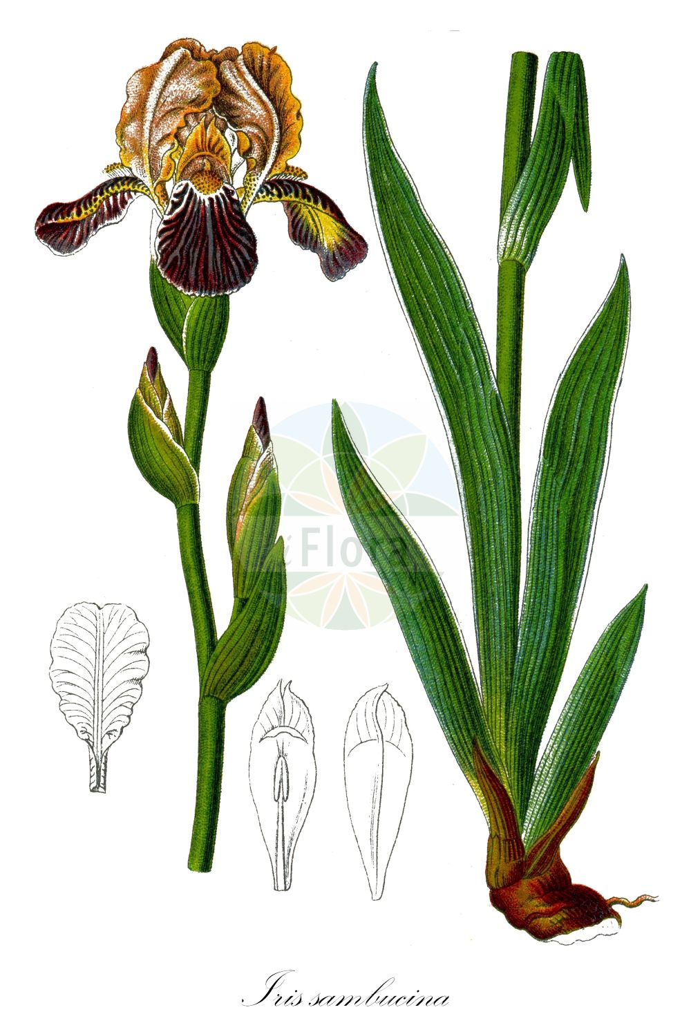 Historische Abbildung von Iris sambucina (Holunder-Schwertlilie - Elder-scented Iris). Das Bild zeigt Blatt, Bluete, Frucht und Same. ---- Historical Drawing of Iris sambucina (Holunder-Schwertlilie - Elder-scented Iris).The image is showing leaf, flower, fruit and seed. (Iris sambucina,Holunder-Schwertlilie,Elder-scented Iris,Schmutziggelbe Schwertlilie,Iris,Schwertlilie,Iris,Iridaceae,Schwertliliengewaechse,Iris family,Blatt,Bluete,Frucht,Same,leaf,flower,fruit,seed,Sturm (1796f))