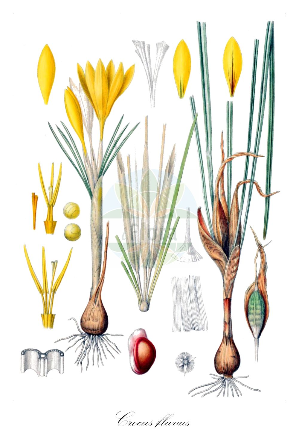 Historische Abbildung von Crocus flavus (Gold-Krokus - Dutch Yellow Crocus). Das Bild zeigt Blatt, Bluete, Frucht und Same. ---- Historical Drawing of Crocus flavus (Gold-Krokus - Dutch Yellow Crocus).The image is showing leaf, flower, fruit and seed. (Crocus flavus,Gold-Krokus,Dutch Yellow Crocus,Yellow Crocus,Crocus,Krokus,Crocus,Iridaceae,Schwertliliengewaechse,Iris family,Blatt,Bluete,Frucht,Same,leaf,flower,fruit,seed,Maw (1886))