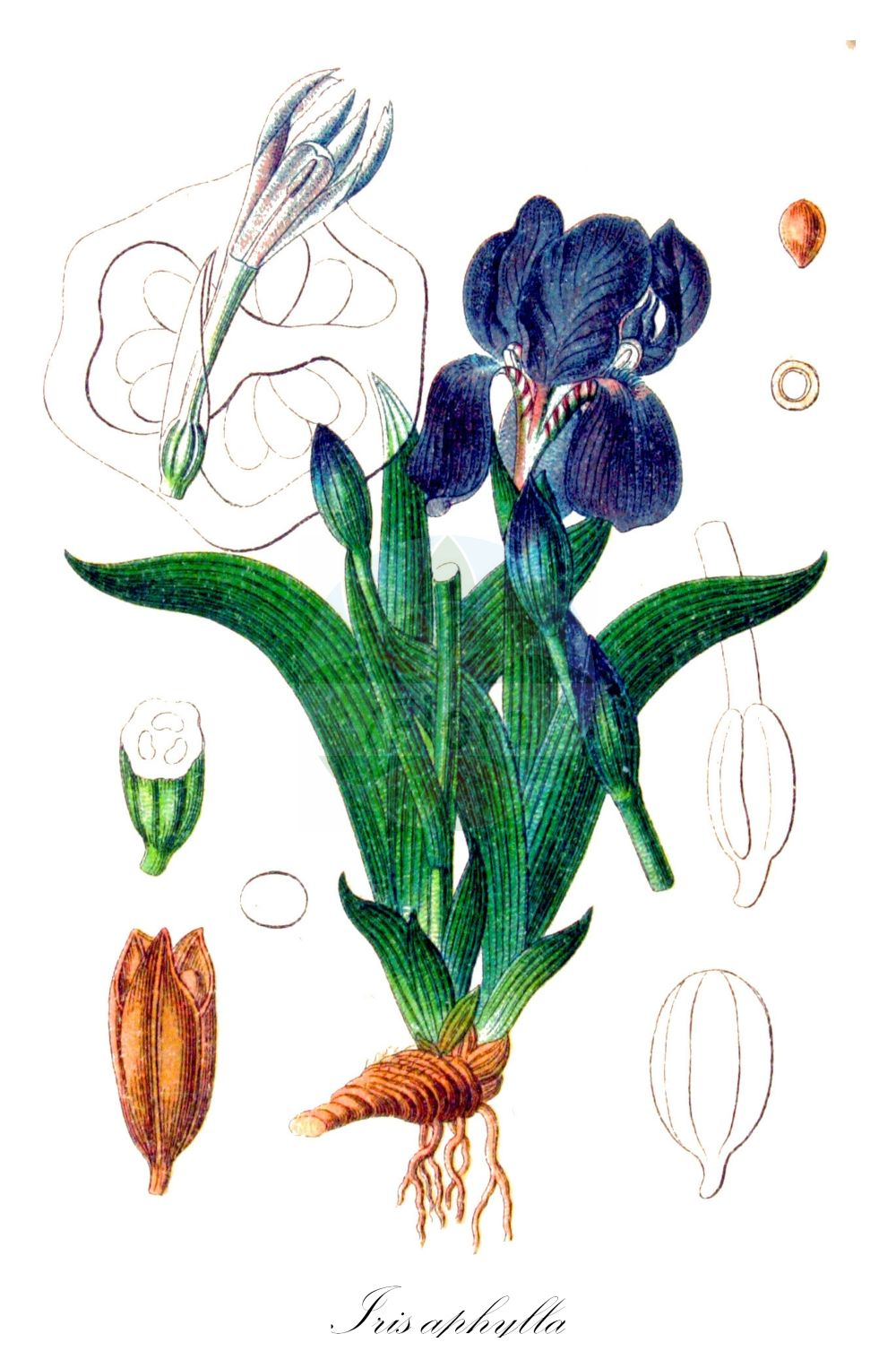 Historische Abbildung von Iris aphylla (Nacktstaengelige Schwertlilie - Stool Iris). Das Bild zeigt Blatt, Bluete, Frucht und Same. ---- Historical Drawing of Iris aphylla (Nacktstaengelige Schwertlilie - Stool Iris).The image is showing leaf, flower, fruit and seed. (Iris aphylla,Nacktstaengelige Schwertlilie,Stool Iris,Iris babadagica,Iris bifurca,Iris bisflorens,Iris bohemica,Iris breviscapa,Iris dacica,Iris diantha,Iris duerinckii,Iris extrafoliacea,Iris falcata,Iris fieberi,Iris furcata,Iris hungarica,Iris melzeri,Iris nudicaulis,Iris perrieri,Iris reflexa,Iris rigida,Iris sabina,Iris schmidtii,Iris subtriflora,Iris tenorei,Nacktstengelige Schwertlilie,Iris,Schwertlilie,Iris,Iridaceae,Schwertliliengewaechse,Iris family,Blatt,Bluete,Frucht,Same,leaf,flower,fruit,seed,Sturm (1796f))