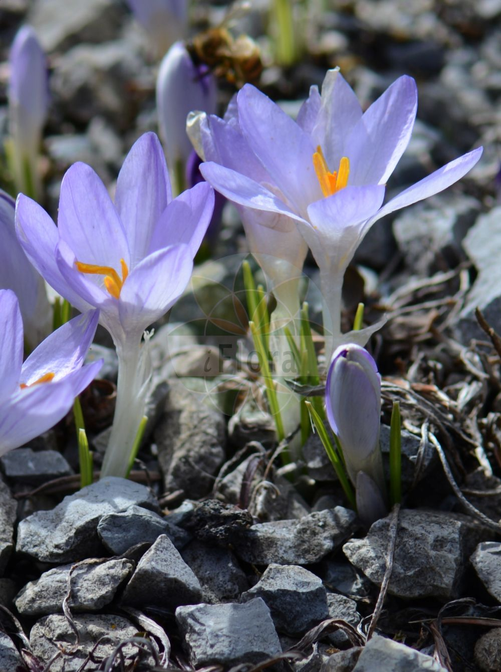 Foto von Crocus vernus subsp. vernus. Das Bild zeigt Blatt und Bluete. Das Foto wurde in Jena, Thueringen, Deutschland aufgenommen. ---- Photo of Crocus vernus subsp. vernus.The image is showing leaf and flower.The picture was taken in Jena, Thuringia, Germany. (Crocus vernus subsp. vernus,Ixia vernalis,Crocus,Krokus,Crocus,Iridaceae,Schwertliliengewaechse,Iris family,Blatt,Bluete,leaf,flower)
