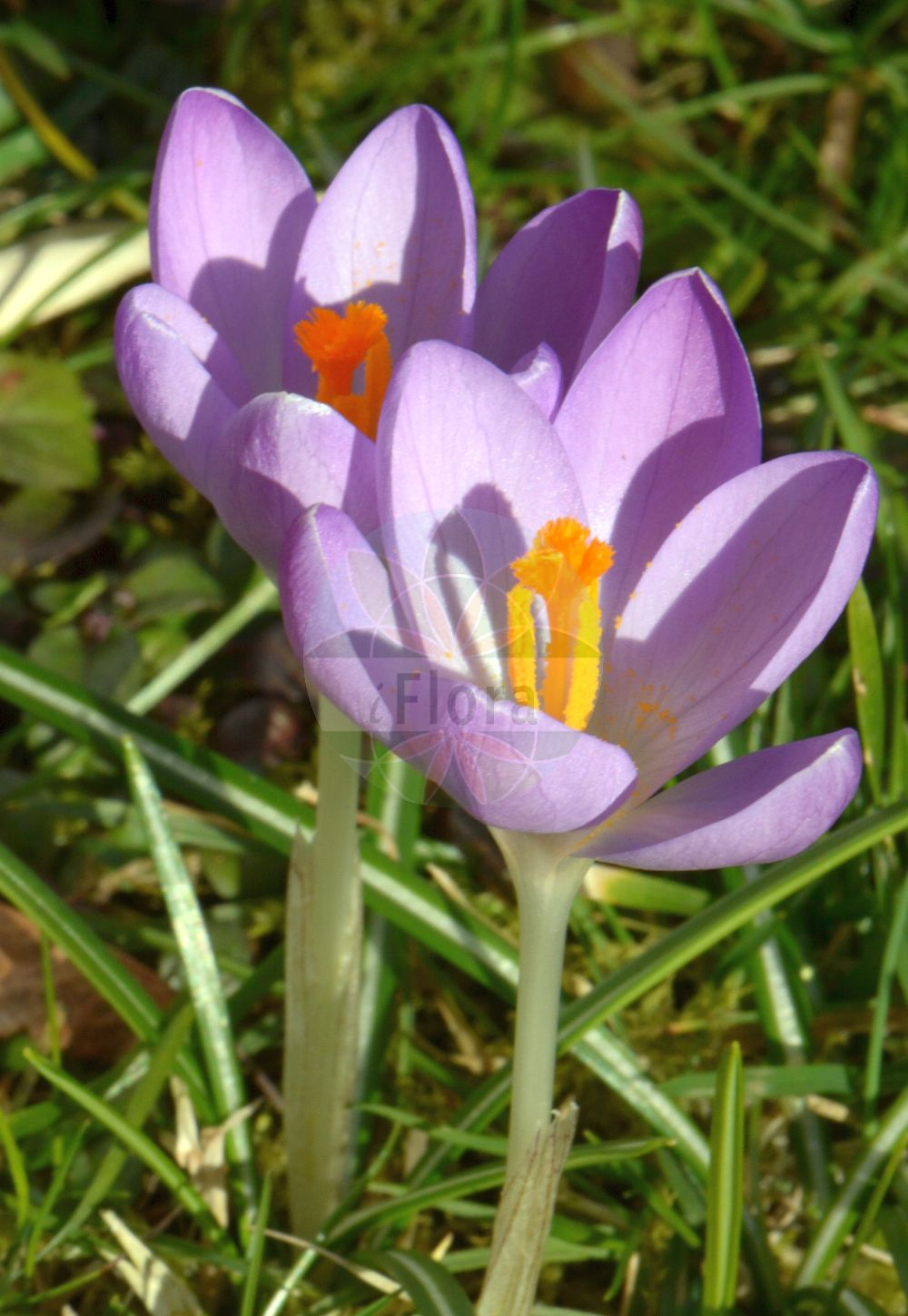 Foto von Crocus vernus (Fruehlings-Krokus - Spring Crocus). Das Foto wurde in aufgenommen. ---- Photo of Crocus vernus (Fruehlings-Krokus - Spring Crocus).The picture was taken in . (Crocus vernus,Fruehlings-Krokus,Spring Crocus,Purple Crocus,Dutch Crocus,Woodland Crocus,Crocus,Krokus,Crocus,Iridaceae,Schwertliliengewaechse,Iris family)