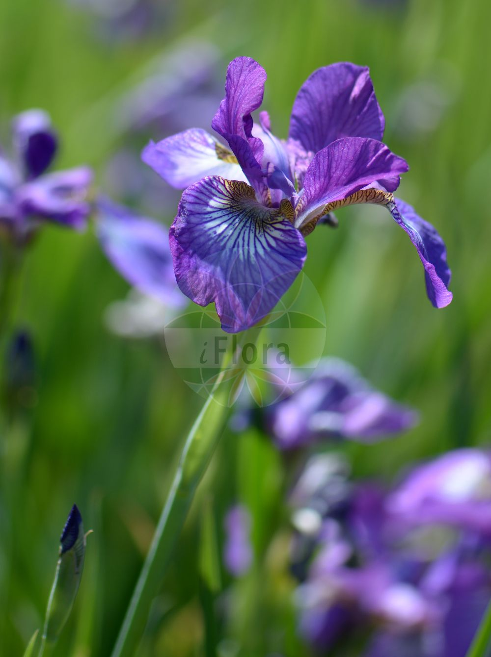 Foto von Iris germanica (Deutsche Schwertlilie - Bearded Iris). Das Foto wurde in Goeteborg, Schweden aufgenommen. ---- Photo of Iris germanica (Deutsche Schwertlilie - Bearded Iris).The picture was taken in Gothenburg, Sweden. (Iris germanica,Deutsche Schwertlilie,Bearded Iris,Common Iris,German Iris,Iris,Schwertlilie,Iris,Iridaceae,Schwertliliengewaechse,Iris family)