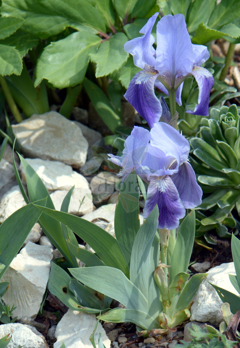 Foto von Iris lutescens. Das Foto wurde in Muenchen, Bayern, Deutschland aufgenommen. ---- Photo of Iris lutescens.The picture was taken in Munich, Bavaria, Germany. (Iris lutescens,Iris,Schwertlilie,Iris,Iridaceae,Schwertliliengewaechse,Iris family)