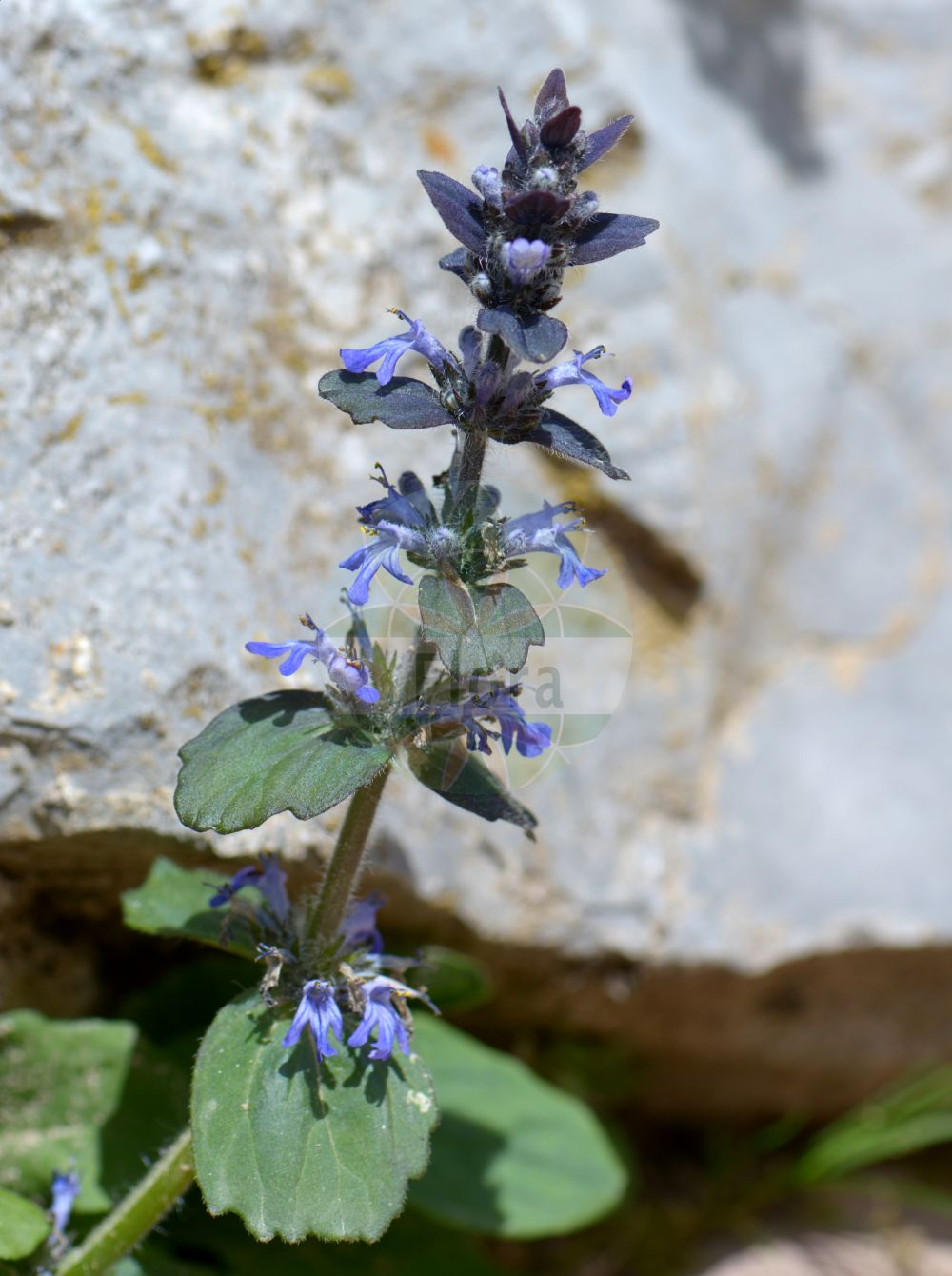 Foto von Ajuga genevensis (Genfer Guensel - Cornish Bugle). Das Bild zeigt Blatt und Bluete. Das Foto wurde in Monte Bondeone, Provincia Autonoma di Trento, Italien, Alpen aufgenommen. ---- Photo of Ajuga genevensis (Genfer Guensel - Cornish Bugle).The image is showing leaf and flower.The picture was taken in Monte Bondeone, Provincia Autonoma di Trento, Italy, Alps.(Ajuga genevensis,Genfer Guensel,Cornish Bugle,Ajuga alpestris,Ajuga alpicola,Ajuga foliosa,Ajuga glabrifolia,Ajuga interrupta,Ajuga lanata,Ajuga montana,Ajuga rugosa,Bugula alpina,Bugula genevensis,Bugula tomentosa,Teucrium genevense,Heide-Guensel,Zottiger Guensel,Blue Bugle,Geneva Bugle,Ajuga,Guensel,Bugle,Lamiaceae,Lippenbluetengewaechse;Lippenbluetler,Nettle family,Blatt,Bluete,leaf,flower)