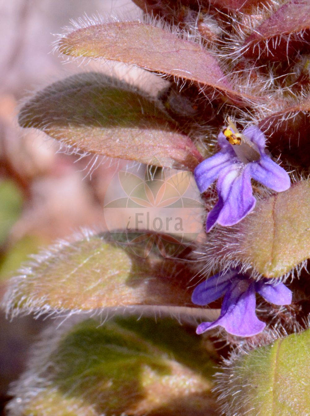 Foto von Ajuga pyramidalis (Pyramiden-Guensel - Pyramidal Bugle). Das Bild zeigt Blatt und Bluete. Das Foto wurde in Frankfurt, Hessen, Deutschland aufgenommen. ---- Photo of Ajuga pyramidalis (Pyramiden-Guensel - Pyramidal Bugle).The image is showing leaf and flower.The picture was taken in Frankfurt, Hesse, Germany.(Ajuga pyramidalis,Pyramiden-Guensel,Pyramidal Bugle,Bugula pyramidalis,Bulga pyramidalis,Teucrium pyramidale,Limestone Bugle,Ajuga,Guensel,Bugle,Lamiaceae,Lippenbluetengewaechse;Lippenbluetler,Nettle family,Blatt,Bluete,leaf,flower)