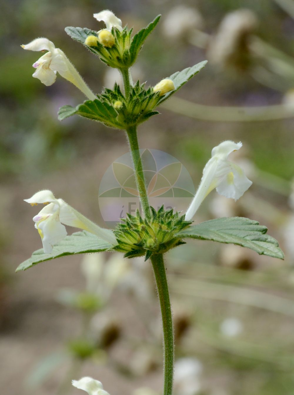 Foto von Galeopsis segetum (Gelber Hohlzahn - Downy Hemp-nettle). Das Bild zeigt Blatt und Bluete. Das Foto wurde in Berlin, Deutschland aufgenommen. ---- Photo of Galeopsis segetum (Gelber Hohlzahn - Downy Hemp-nettle).The image is showing leaf and flower.The picture was taken in Berlin, Germany.(Galeopsis segetum,Gelber Hohlzahn,Downy Hemp-nettle,Dalanum segetum,Galeopsis dubia,Galeopsis elegans,Galeopsis grandiflora,Galeopsis ochroleuca,Galeopsis villosa,Ladanella segetum,Ladanum dubium,Ladanum luteum,Ladanum ochroleucum,Tetrahit longiflorum,Saat-Hohlzahn,Yellow Hemp-nettle,Galeopsis,Hohlzahn,Hempnettle,Lamiaceae,Lippenbluetengewaechse;Lippenbluetler,Nettle family,Blatt,Bluete,leaf,flower)