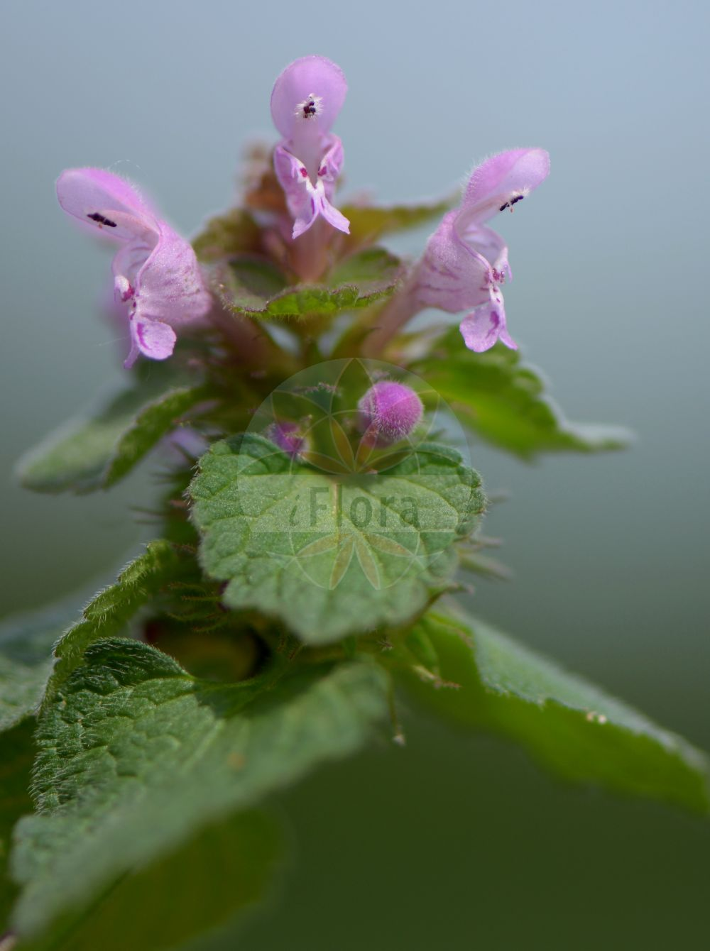 Foto von Lamium confertum (Mittlere Taubnessel - Northern Dead-nettle). Das Bild zeigt Blatt und Bluete. Das Foto wurde in Wetteraukreis, Hessen, Deutschland, Wetterau und Giessener Becken aufgenommen. ---- Photo of Lamium confertum (Mittlere Taubnessel - Northern Dead-nettle).The image is showing leaf and flower.The picture was taken in Wetterau district, Hesse, Germany, Wetterau and Giessener Becken.(Lamium confertum,Mittlere Taubnessel,Northern Dead-nettle,Lamium coutinhoi,Lamium intermedium,Intermediate Deadnettle,Lamium,Taubnessel,Deadnettle,Lamiaceae,Lippenbluetengewaechse;Lippenbluetler,Nettle family,Blatt,Bluete,leaf,flower)
