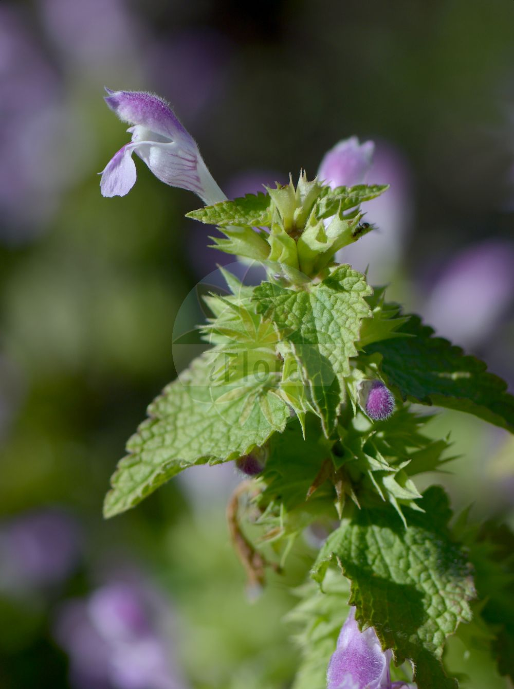Foto von Lamium garganicum. Das Bild zeigt Blatt und Bluete. Das Foto wurde in Kopenhagen, Daenemark aufgenommen. ---- Photo of Lamium garganicum.The image is showing leaf and flower.The picture was taken in Copenhagen, Denmark.(Lamium garganicum,Lamium,Taubnessel,Deadnettle,Lamiaceae,Lippenbluetengewaechse;Lippenbluetler,Nettle family,Blatt,Bluete,leaf,flower)