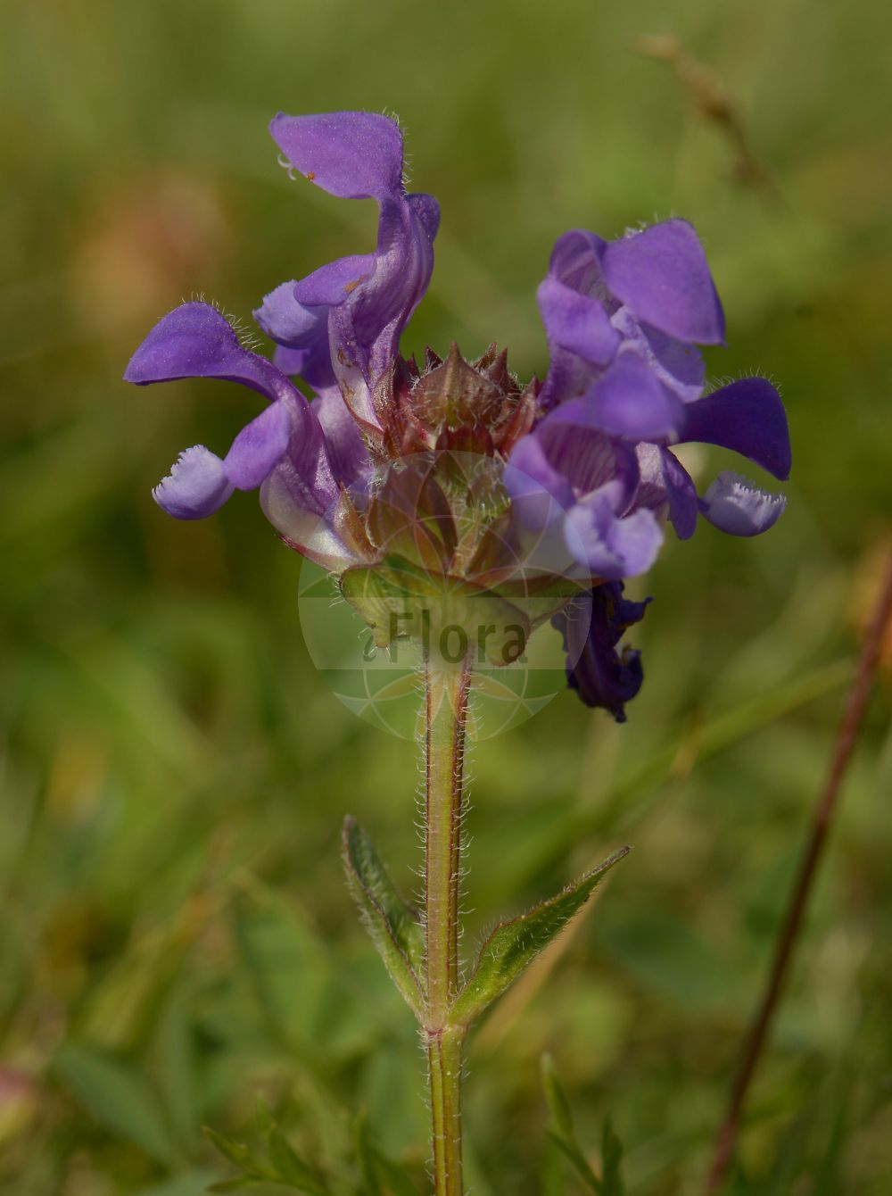 Foto von Prunella grandiflora (Grossbluetige Braunelle - Large-flowered Selfheal). Das Bild zeigt Bluete. Das Foto wurde in Muenzenberg, Wetteraukreis, Hessen, Deutschland, Wetterau und Giessener Becken aufgenommen. ---- Photo of Prunella grandiflora (Grossbluetige Braunelle - Large-flowered Selfheal).The image is showing flower.The picture was taken in Muenzenberg, Wetterau district, Hesse, Germany, Wetterau and Giessener Becken.(Prunella grandiflora,Grossbluetige Braunelle,Large-flowered Selfheal,Prunella vulgaris var. grandiflora,Grossblueten-Brunelle,Grossbluetige Brunelle,Bigflower Selfheal,Large Selfheal,Prunella,Braunelle,Selfheal,Lamiaceae,Lippenbluetengewaechse;Lippenbluetler,Nettle family,Bluete,flower)