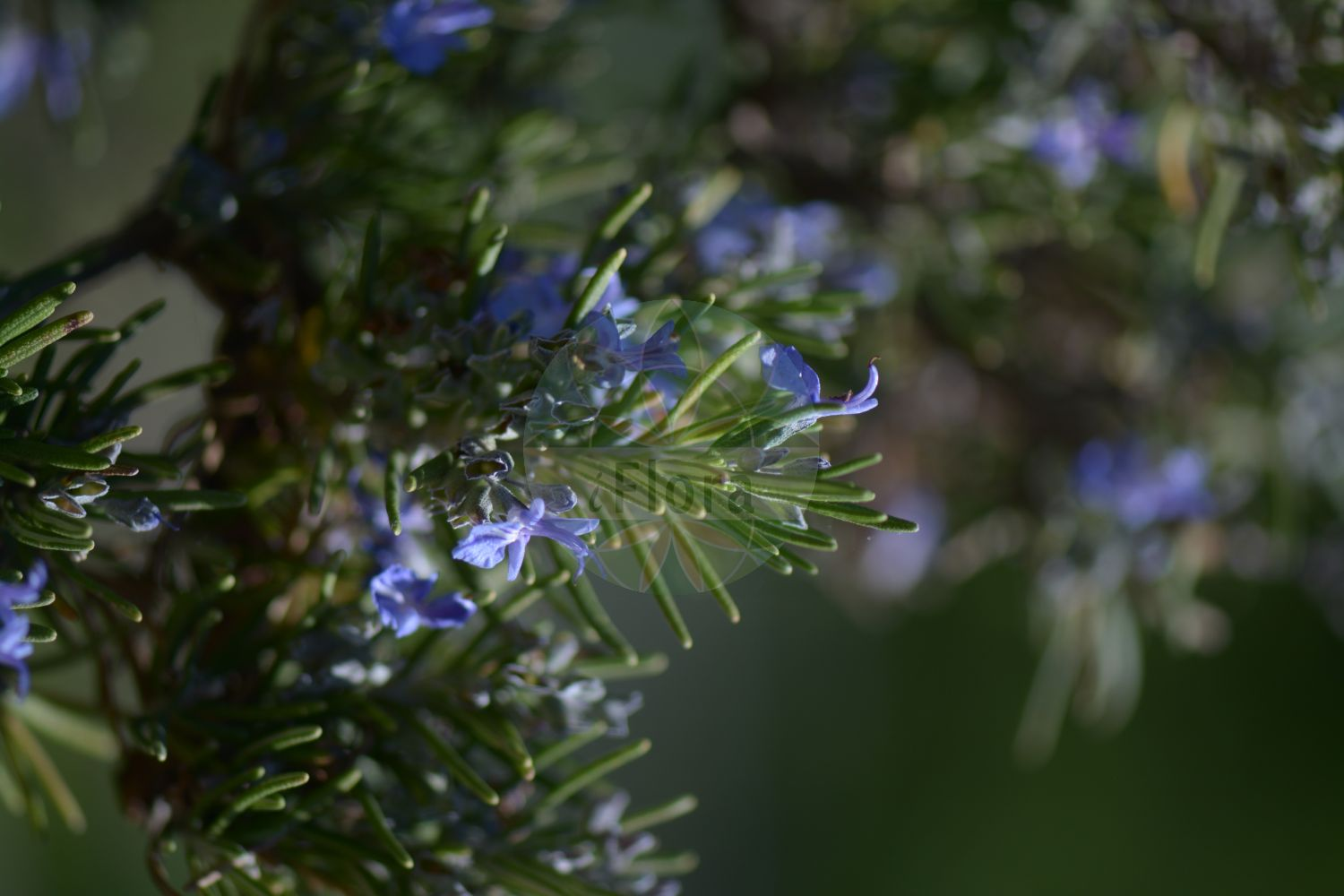 Foto von Rosmarinus officinalis (Echter Rosmarin - Rosemary). Das Bild zeigt Blatt und Bluete. Das Foto wurde in Kopenhagen, Daenemark aufgenommen. ---- Photo of Rosmarinus officinalis (Echter Rosmarin - Rosemary).The image is showing leaf and flower.The picture was taken in Copenhagen, Denmark.(Rosmarinus officinalis,Echter Rosmarin,Rosemary,subsp. laxiflorus,Rosmarin,Garden Moorwort,Rosmarinus,Rosmarin,Rosemary,Lamiaceae,Lippenbluetengewaechse;Lippenbluetler,Nettle family,Blatt,Bluete,leaf,flower)