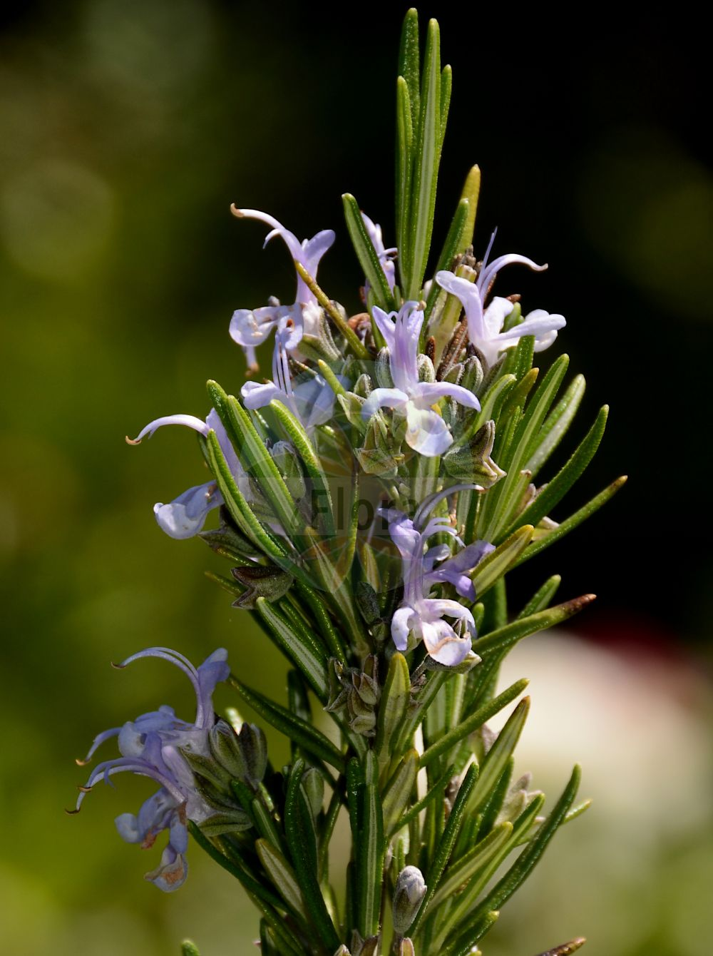 Foto von Rosmarinus officinalis (Echter Rosmarin - Rosemary). Das Bild zeigt Blatt und Bluete. Das Foto wurde in Dijon, Burgund, Frankreich aufgenommen. ---- Photo of Rosmarinus officinalis (Echter Rosmarin - Rosemary).The image is showing leaf and flower.The picture was taken in Dijon, Burgundy, France.(Rosmarinus officinalis,Echter Rosmarin,Rosemary,subsp. laxiflorus,Rosmarin,Garden Moorwort,Rosmarinus,Rosmarin,Rosemary,Lamiaceae,Lippenbluetengewaechse;Lippenbluetler,Nettle family,Blatt,Bluete,leaf,flower)