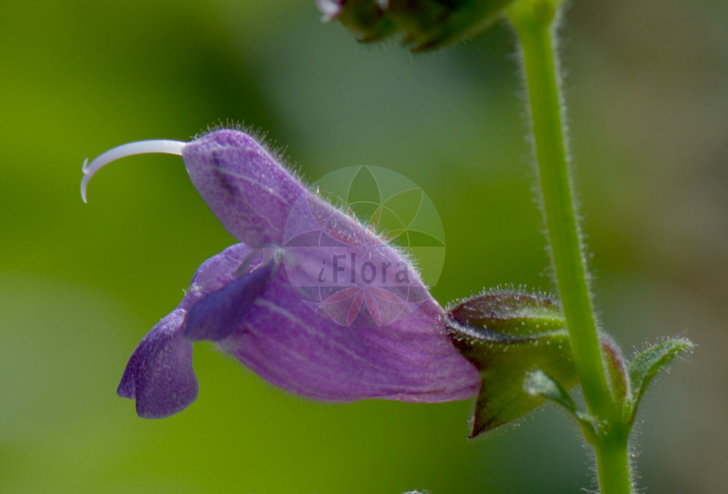 Foto von Salvia hians. Das Bild zeigt Bluete. Das Foto wurde in Torino, Piemonte, Italien aufgenommen. ---- Photo of Salvia hians.The image is showing flower.The picture was taken in Torino, Piedmont, Italy.(Salvia hians,Salvia,Salbei,Sage,Lamiaceae,Lippenbluetengewaechse;Lippenbluetler,Nettle family,Bluete,flower)