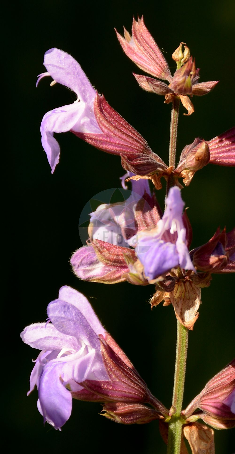 Foto von Salvia officinalis (Echter Salbei - Sage). Das Bild zeigt Bluete. Das Foto wurde in Besancon, Bourgogne-Franche-Comté (Praefektur), Frankreich aufgenommen. ---- Photo of Salvia officinalis (Echter Salbei - Sage).The image is showing flower.The picture was taken in Besançon, Bourgogne-Franche-Comté.(Salvia officinalis,Echter Salbei,Sage,Common Kitchen Garden ,Salvia,Salbei,Sage,Lamiaceae,Lippenbluetengewaechse;Lippenbluetler,Nettle family,Bluete,flower)