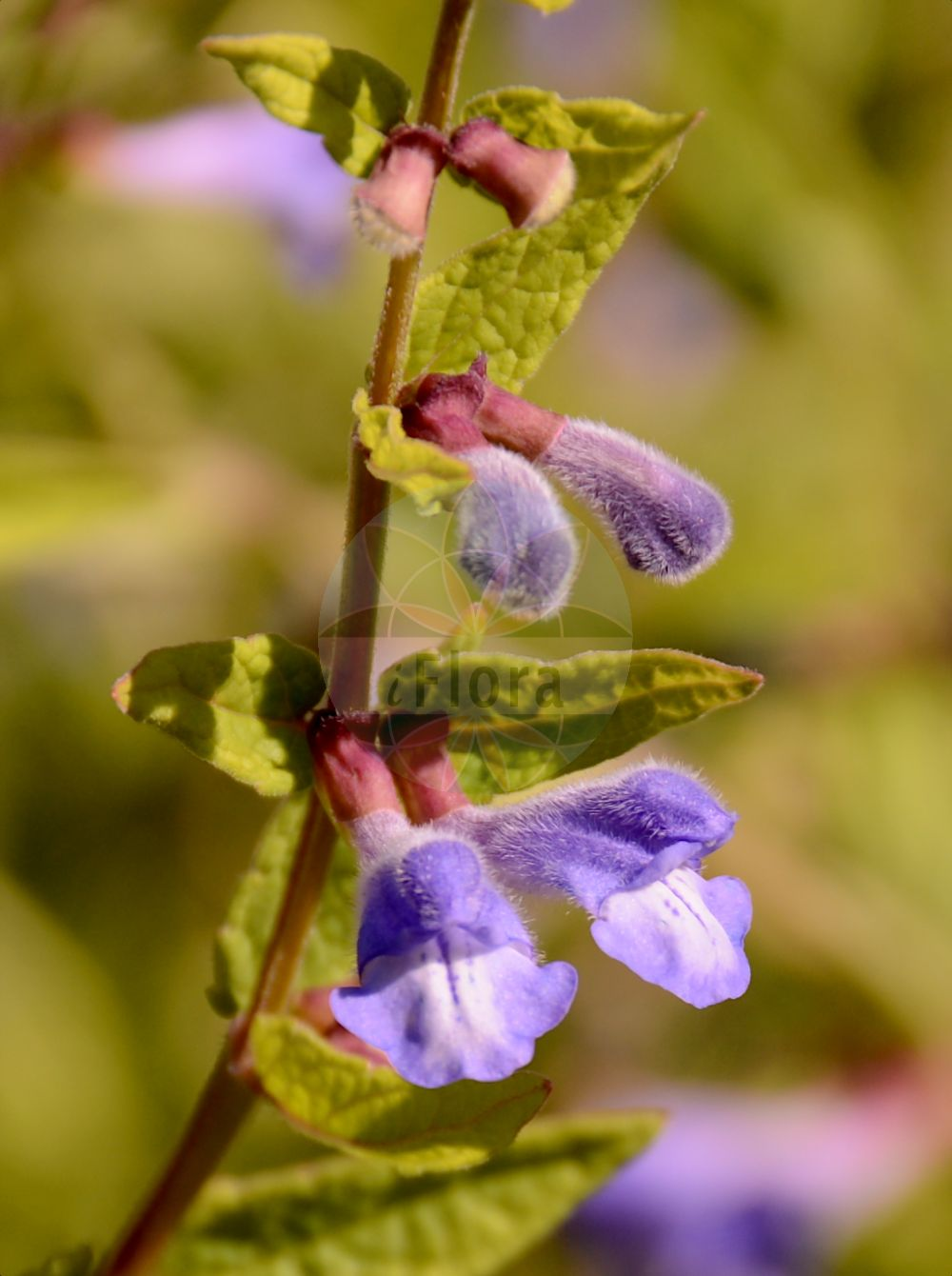 Foto von Scutellaria galericulata (Sumpf-Helmkraut - Skullcap). Das Bild zeigt Blatt und Bluete. Das Foto wurde in Mainz, Rheinland-Pfalz, Deutschland aufgenommen. ---- Photo of Scutellaria galericulata (Sumpf-Helmkraut - Skullcap).The image is showing leaf and flower.The picture was taken in Mainz, Rhineland-Palatinate, Germany.(Scutellaria galericulata,Sumpf-Helmkraut,Skullcap,Cassida galericulata,Cassida major,Scutellaria adamsii,Scutellaria epilobiifolia,Scutellaria pauciflora,Blue Common Marsh ,Scutellaria,Helmkraut,Skullcap,Lamiaceae,Lippenbluetengewaechse;Lippenbluetler,Nettle family,Blatt,Bluete,leaf,flower)