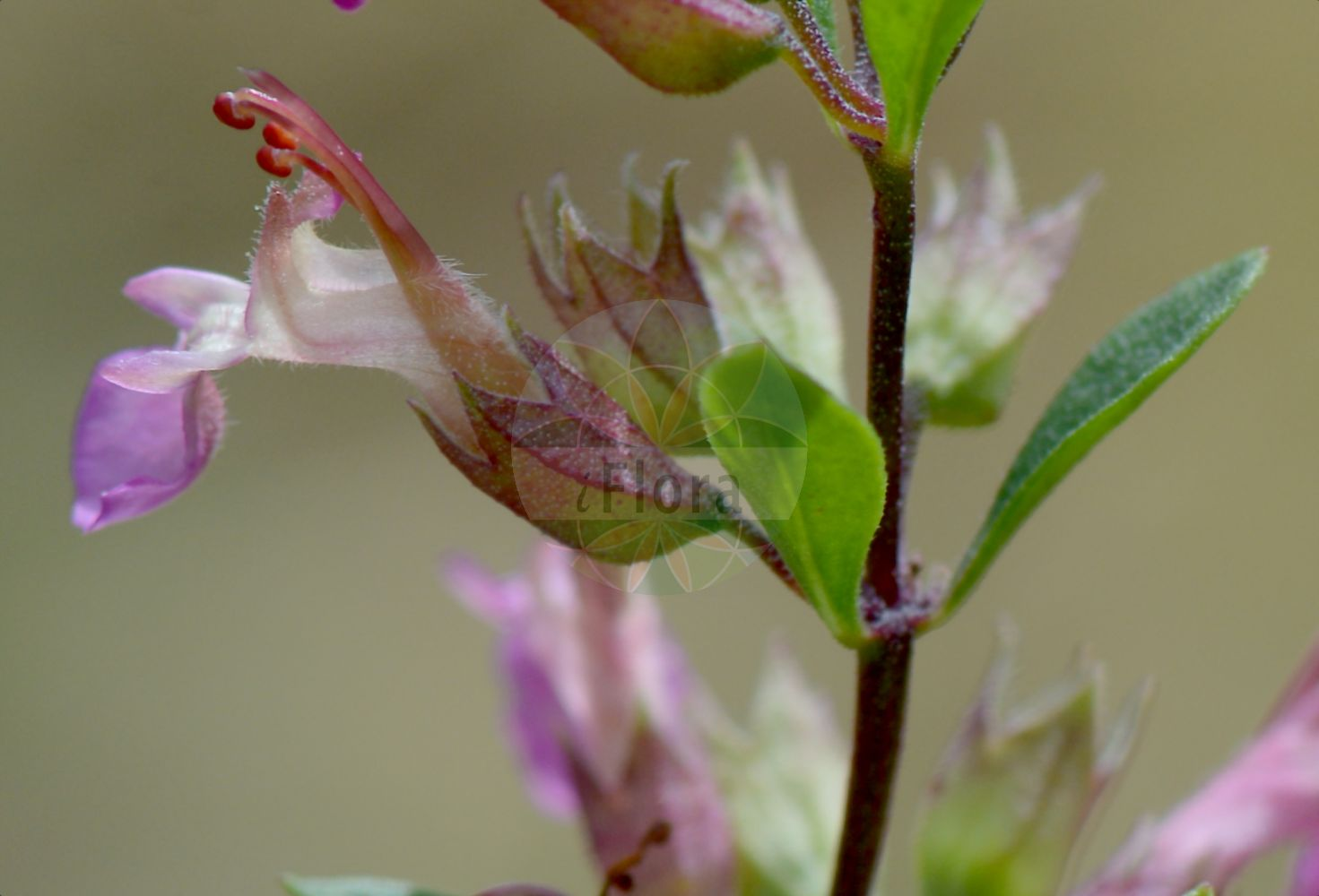 Foto von Teucrium lucidum. Das Bild zeigt Blatt und Bluete. Das Foto wurde in Genève, Schweiz aufgenommen. ---- Photo of Teucrium lucidum.The image is showing leaf and flower.The picture was taken in Geneva, Switzerland.(Teucrium lucidum,Chamaedrys lucida,,Teucrium,Gamander,Germander,Lamiaceae,Lippenbluetengewaechse;Lippenbluetler,Nettle family,Blatt,Bluete,leaf,flower)