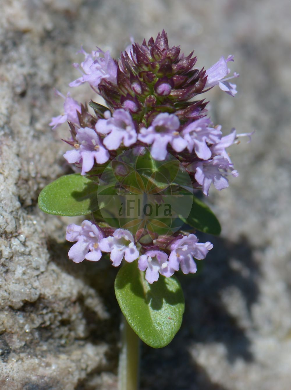 Foto von Thymus pulegioides (Arznei-Thymian - Large Thyme). Das Bild zeigt Blatt und Bluete. Das Foto wurde in Kopenhagen, Daenemark aufgenommen. ---- Photo of Thymus pulegioides (Arznei-Thymian - Large Thyme).The image is showing leaf and flower.The picture was taken in Copenhagen, Denmark.(Thymus pulegioides,Arznei-Thymian,Large Thyme,Feld-Thymian,Krainer Quendel,Large Garden,Eurasian Thyme,Garden Thyme,Hungarian Thyme,Thymus,Thymian,Thyme,Lamiaceae,Lippenbluetengewaechse;Lippenbluetler,Nettle family,Blatt,Bluete,leaf,flower)