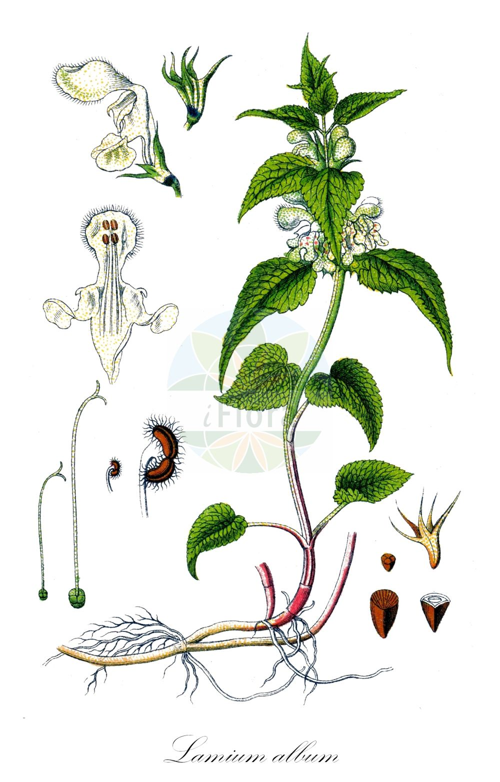 Historische Abbildung von Lamium album (Weisse Taubnessel - White Dead-nettle). Das Bild zeigt Blatt, Bluete, Frucht und Same. ---- Historical Drawing of Lamium album (Weisse Taubnessel - White Dead-nettle).The image is showing leaf, flower, fruit and seed.(Lamium album,Weisse Taubnessel,White Dead-nettle,Lamium vulgatum var. album,White Archangel,Lamium,Taubnessel,Deadnettle,Lamiaceae,Lippenbluetengewaechse;Lippenbluetler,Nettle family,Blatt,Bluete,Frucht,Same,leaf,flower,fruit,seed,Sturm (1796f))