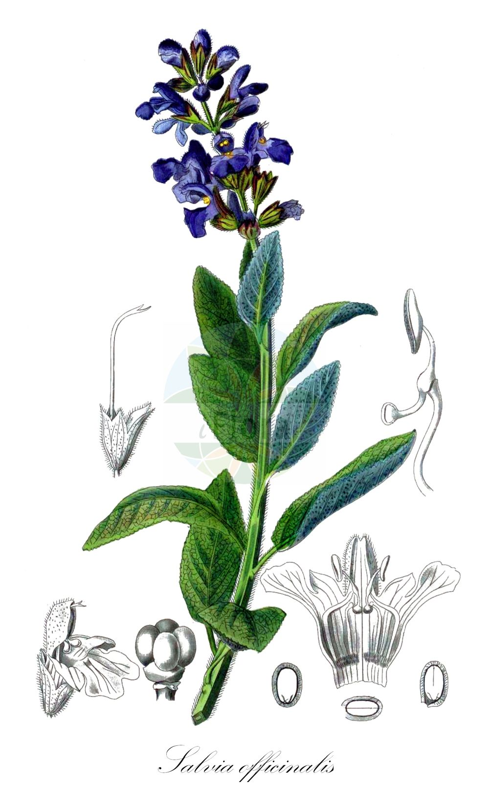 Historische Abbildung von Salvia officinalis (Echter Salbei - Sage). ---- Historical Drawing of Salvia officinalis (Echter Salbei - Sage).(Salvia officinalis,Echter Salbei,Sage,Common Kitchen Garden ,Salvia,Salbei,Sage,Lamiaceae,Lippenbluetengewaechse;Lippenbluetler,Nettle family,Kohl (1891-1895))