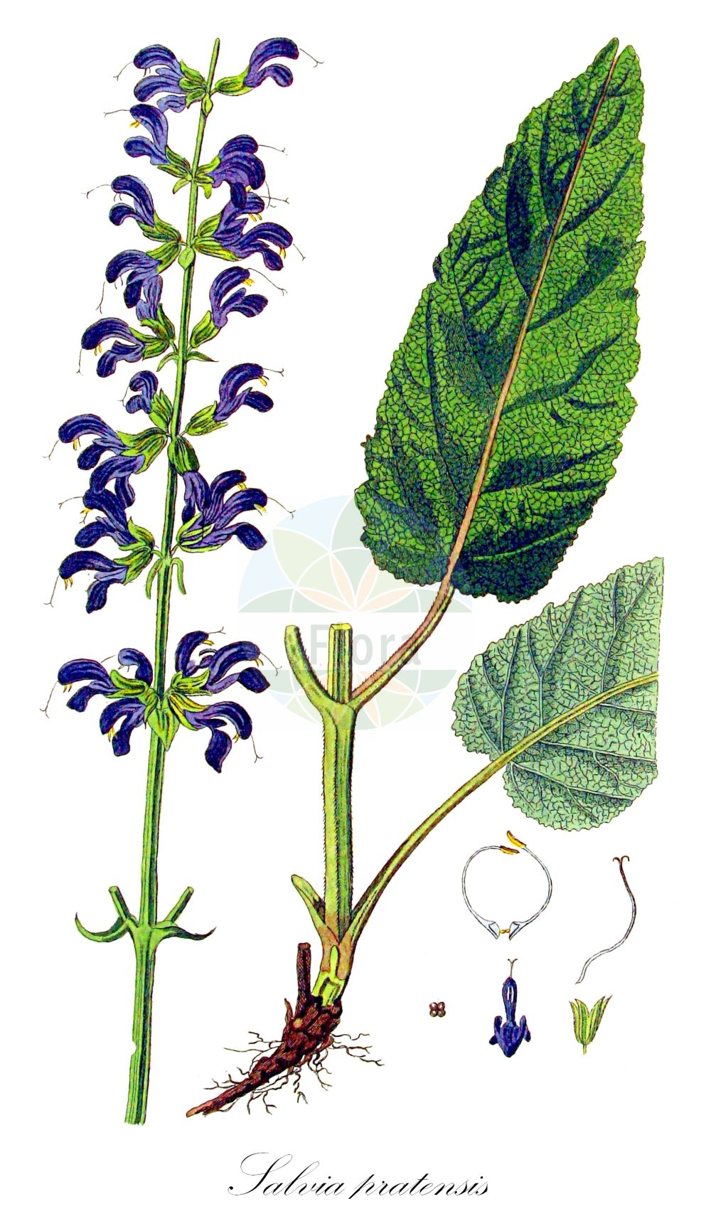 Historische Abbildung von Salvia pratensis (Wiesen-Salbei - Meadow Clary). Das Bild zeigt Blatt, Bluete, Frucht und Same. ---- Historical Drawing of Salvia pratensis (Wiesen-Salbei - Meadow Clary).The image is showing leaf, flower, fruit and seed.(Salvia pratensis,Wiesen-Salbei,Meadow Clary,Gallitrichum pratense,Plethiosphace pratensis,Sclarea pratensis,Introduced Sage,Meadow Sage,Salvia,Salbei,Sage,Lamiaceae,Lippenbluetengewaechse;Lippenbluetler,Nettle family,Blatt,Bluete,Frucht,Same,leaf,flower,fruit,seed,Kops (1800-1934))